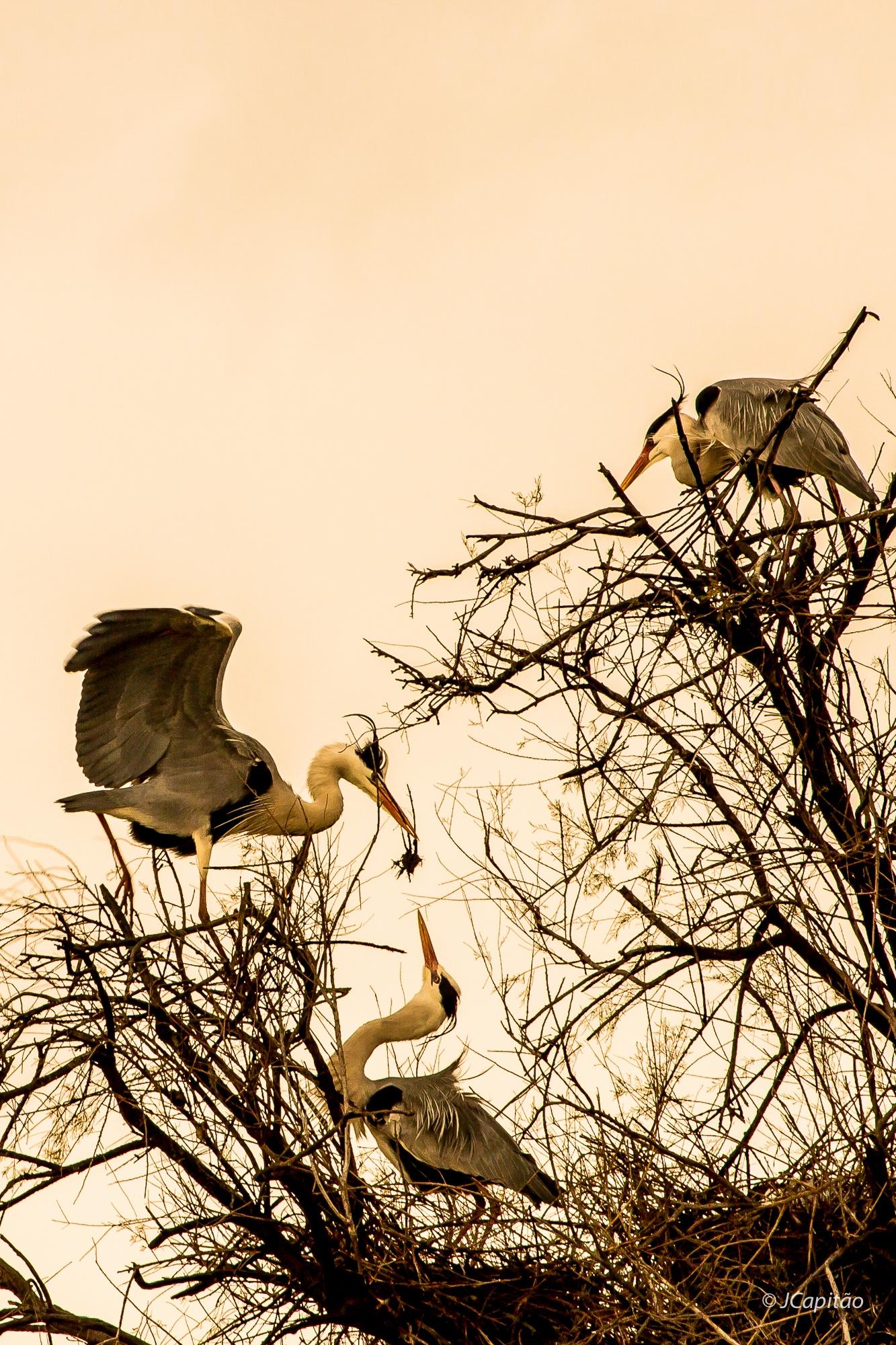 Grey heron by Joaquim Capitao