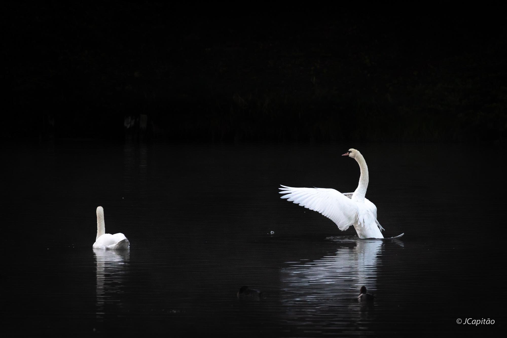 Swan lake by Joaquim Capitao