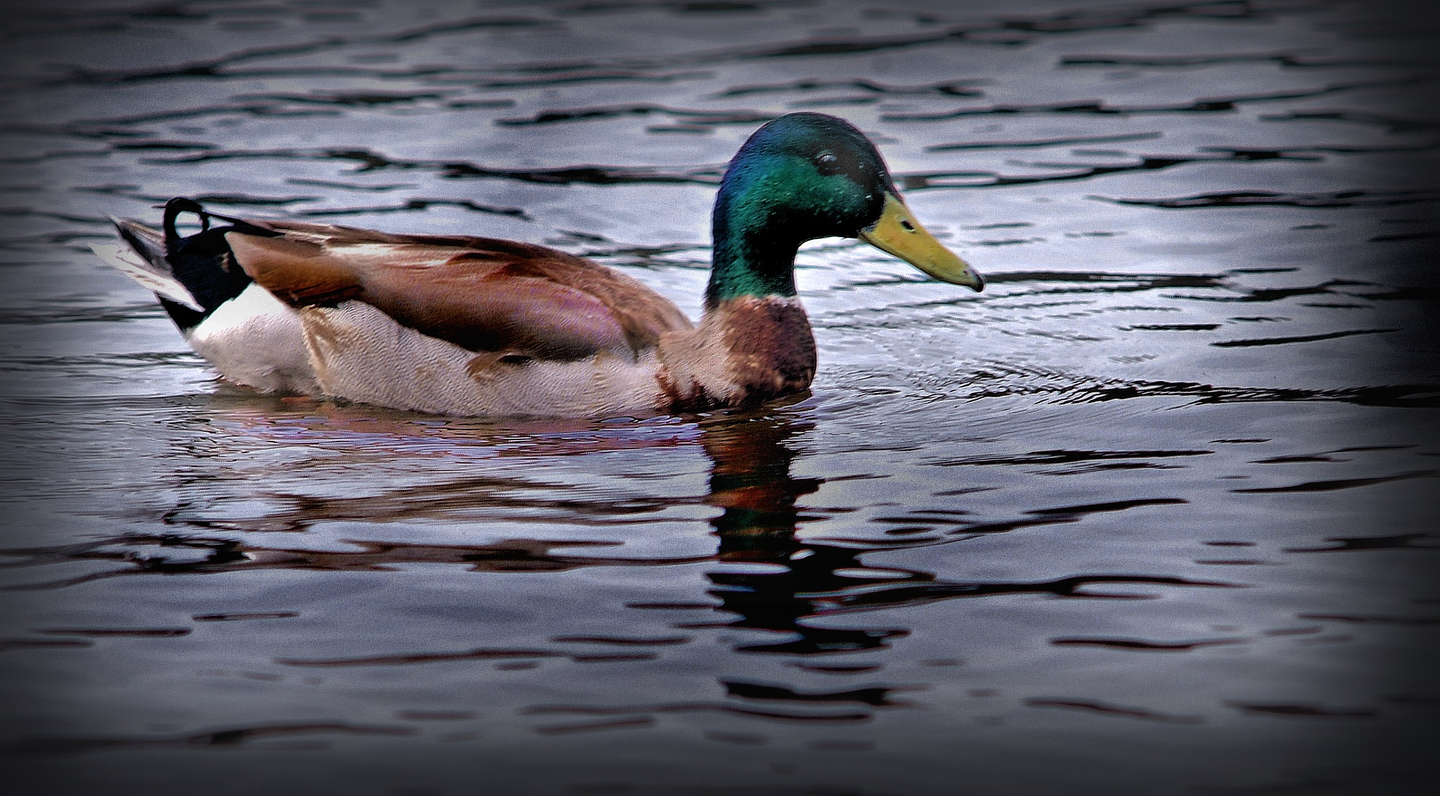 ...Why a duck by C michael anthony