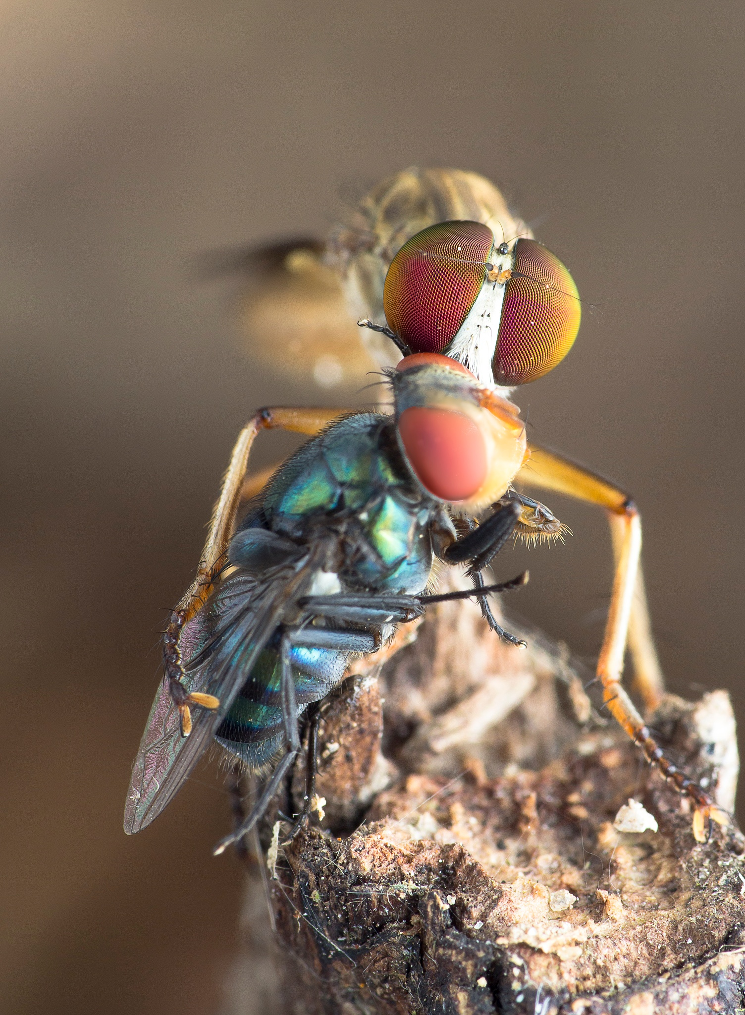 Robber Fly With Prey 160404B by carrot9817