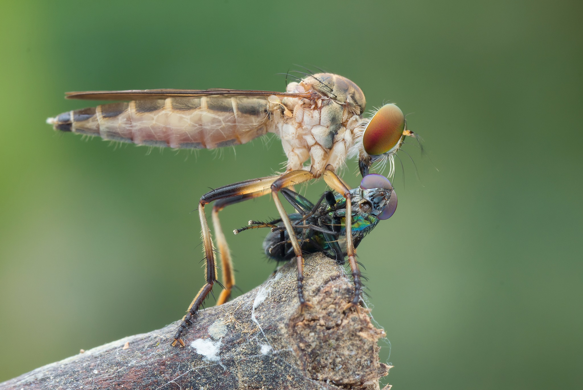 Robber Fly With Prey 171026A by carrot9817