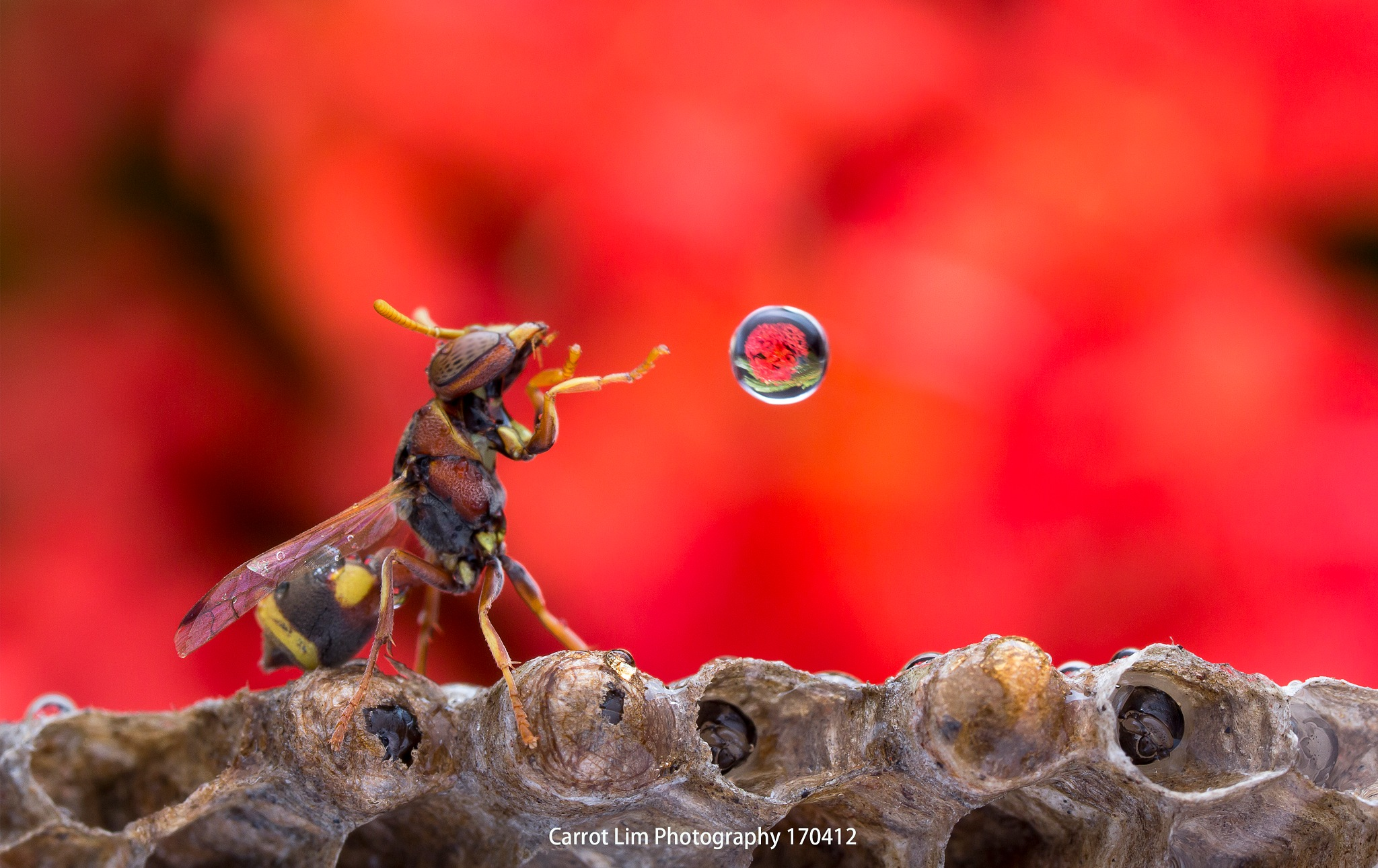 Wasp Blowing Water Bubble 170425A by carrot9817