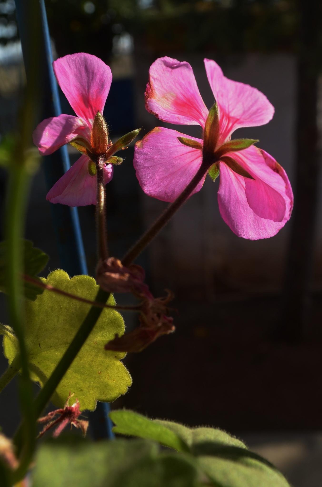 Saksıdaki çiçek by Zeki Durak