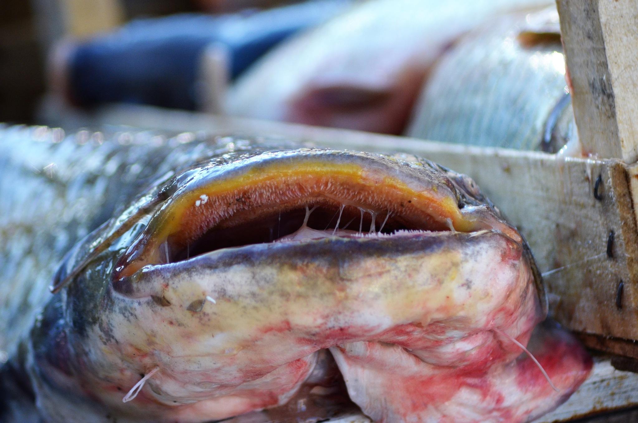 Yayın balığı by Zeki Durak