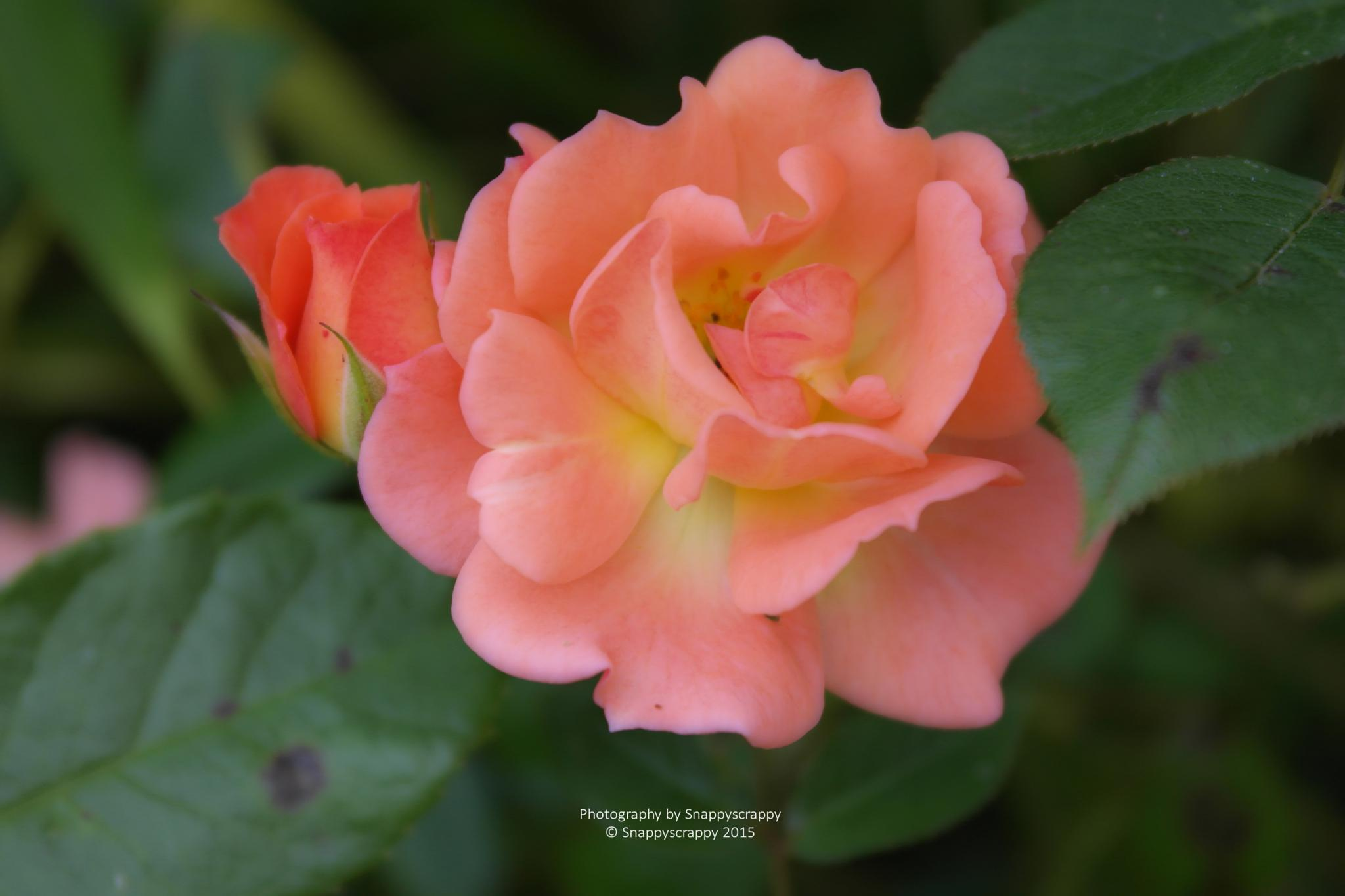 A pretty peach rose by  Snappyscrappy Photography