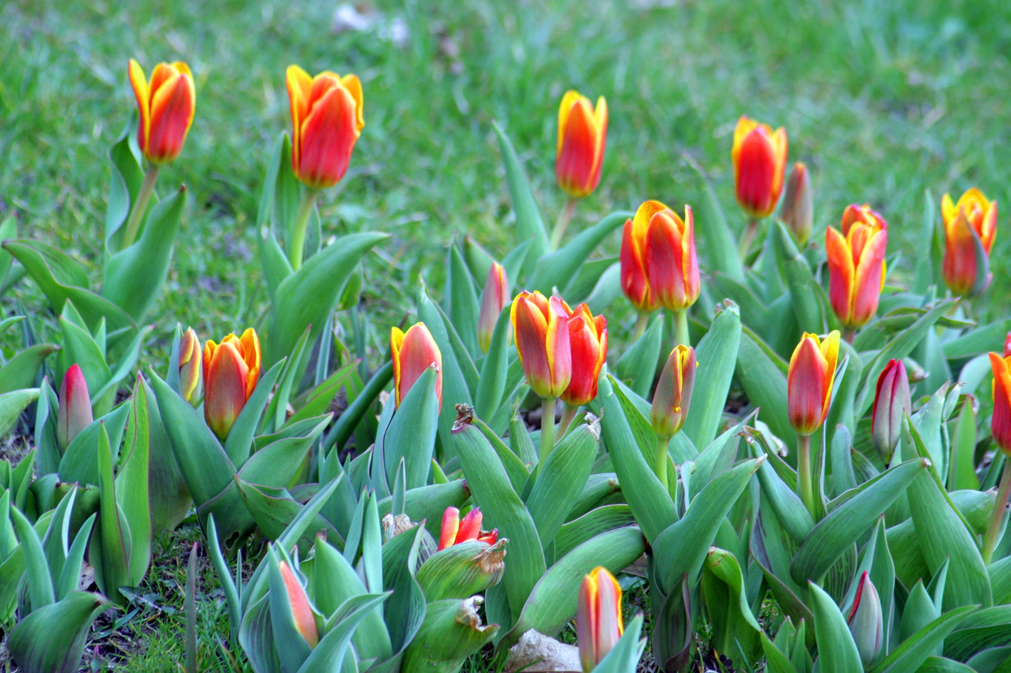 Tulip dreams! by monanorrman