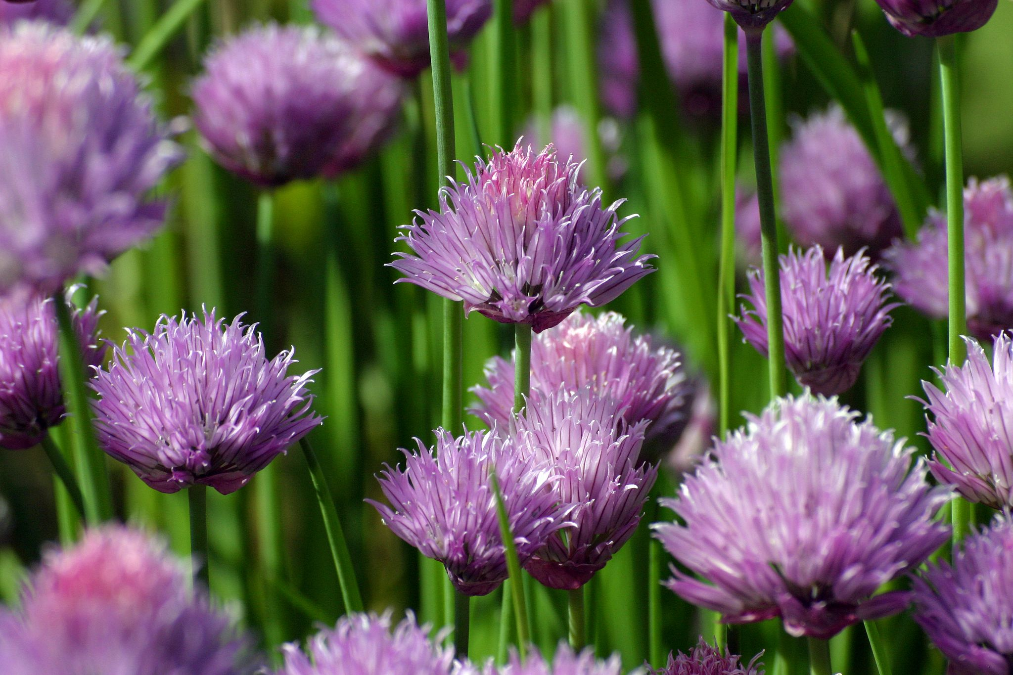 chives by monanorrman