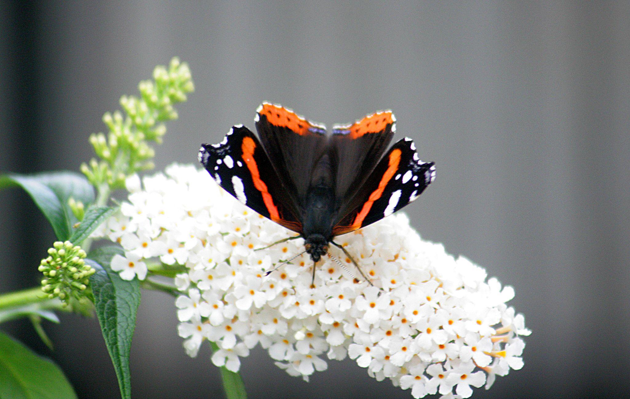 Butterfly !  by monanorrman