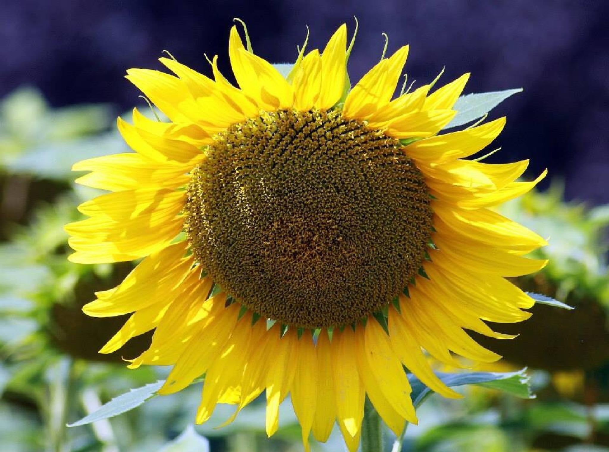 Sunflower by monanorrman