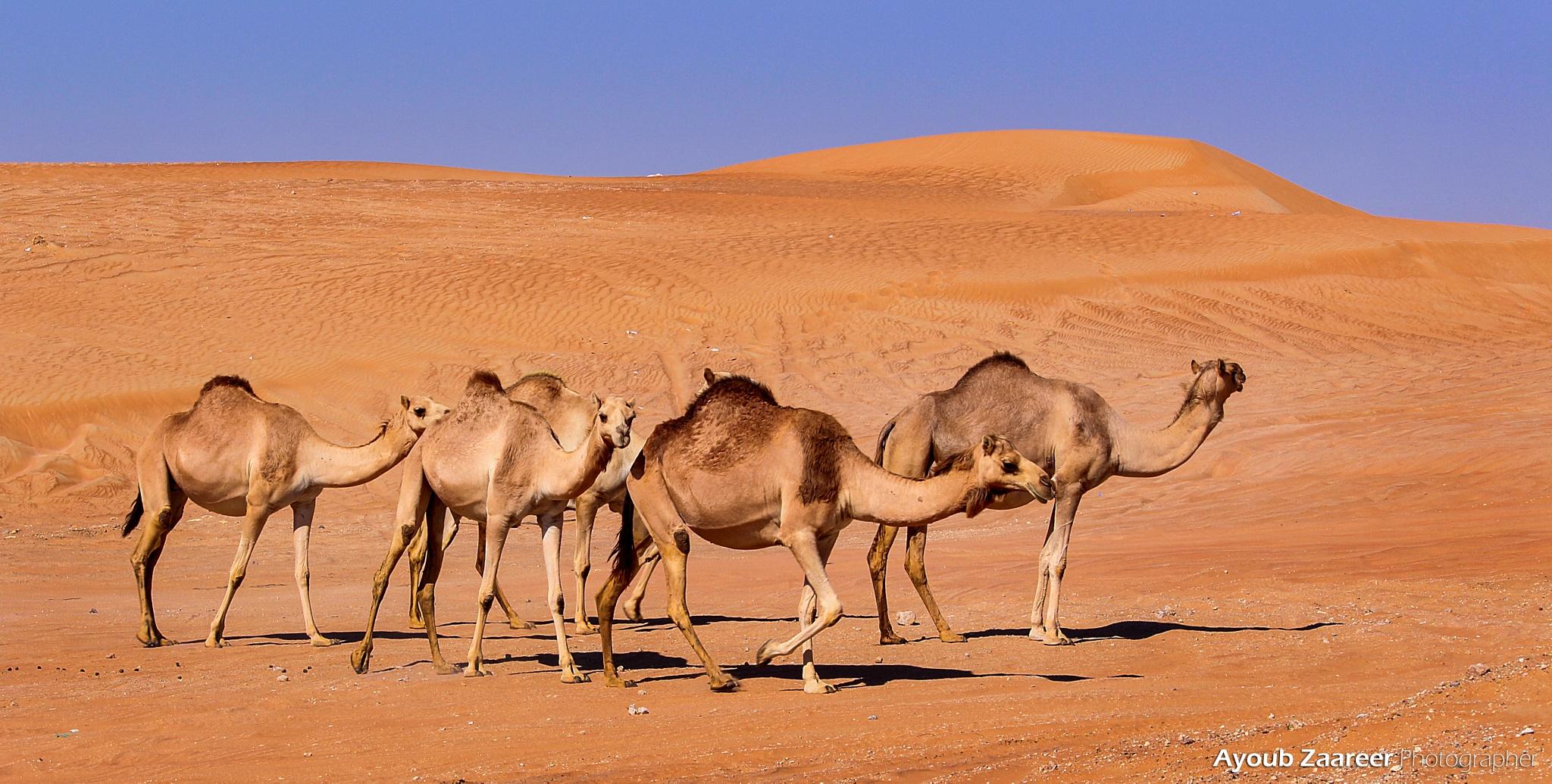 سفينة الصحراء by Ayoub Zaareer