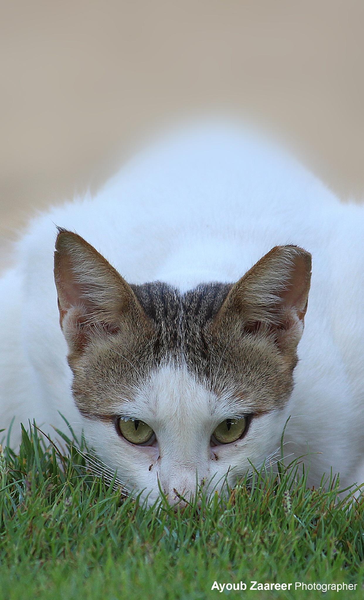 Cat by Ayoub Zaareer