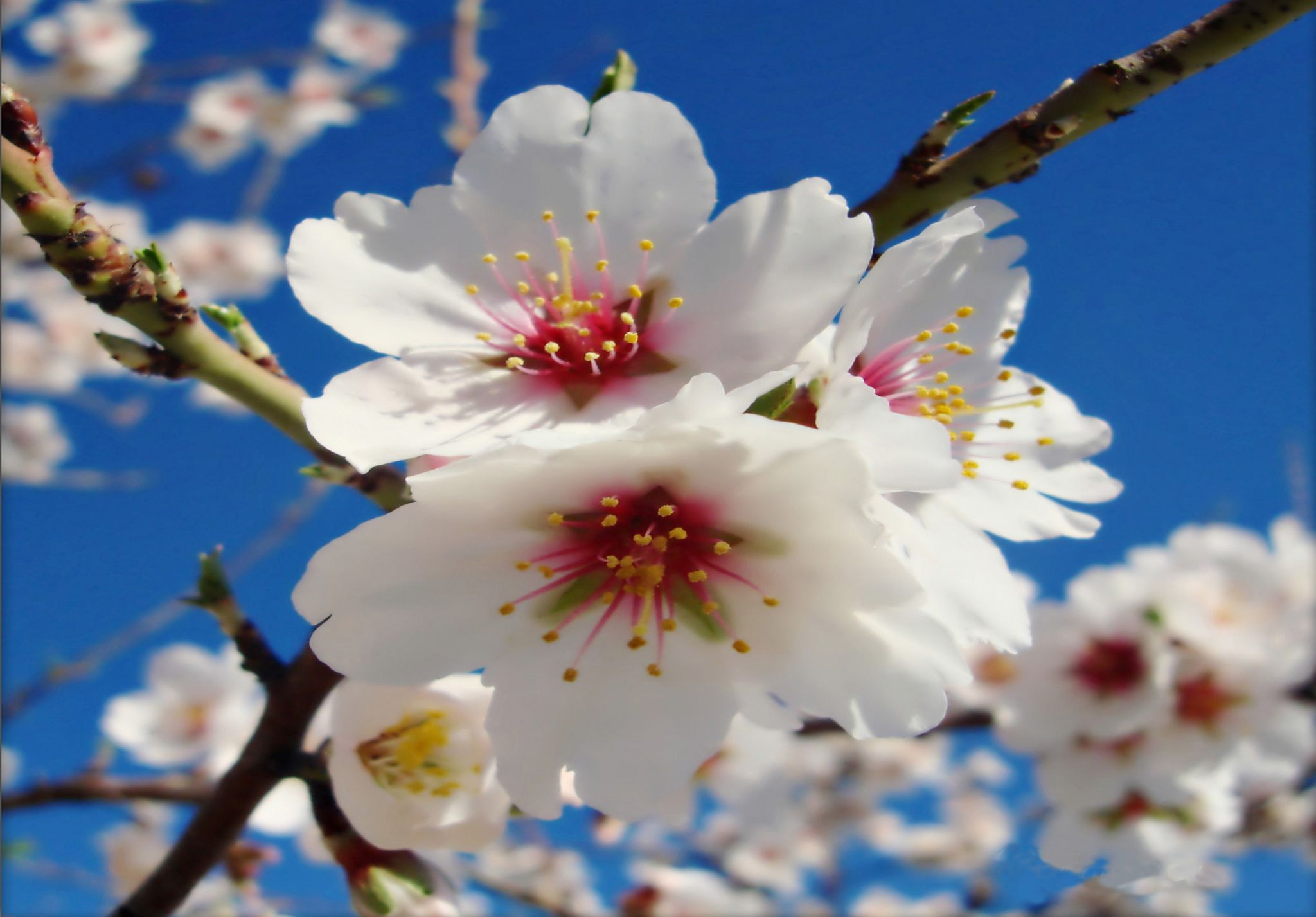 Almond blossoms by OLAYA