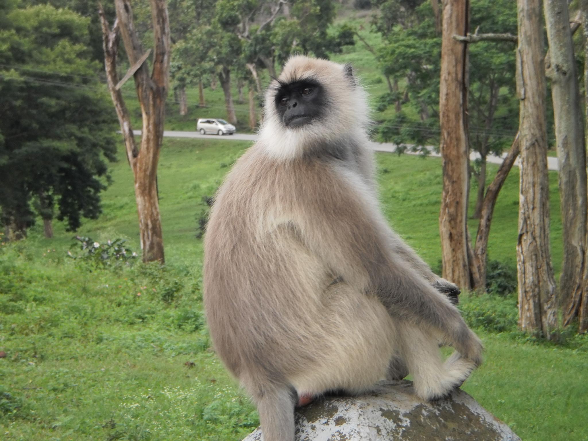 An alpha male langur by vanjimuthuj