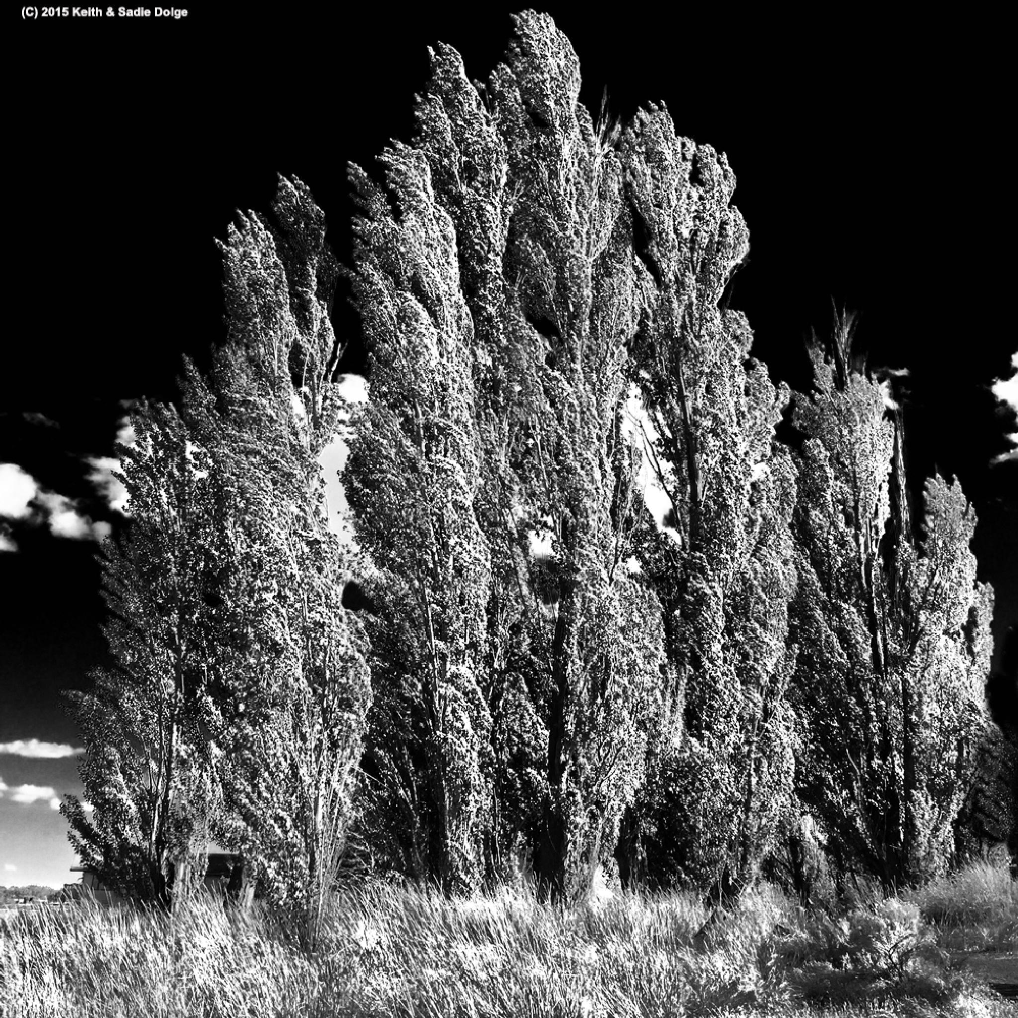 Poplars by KDolge
