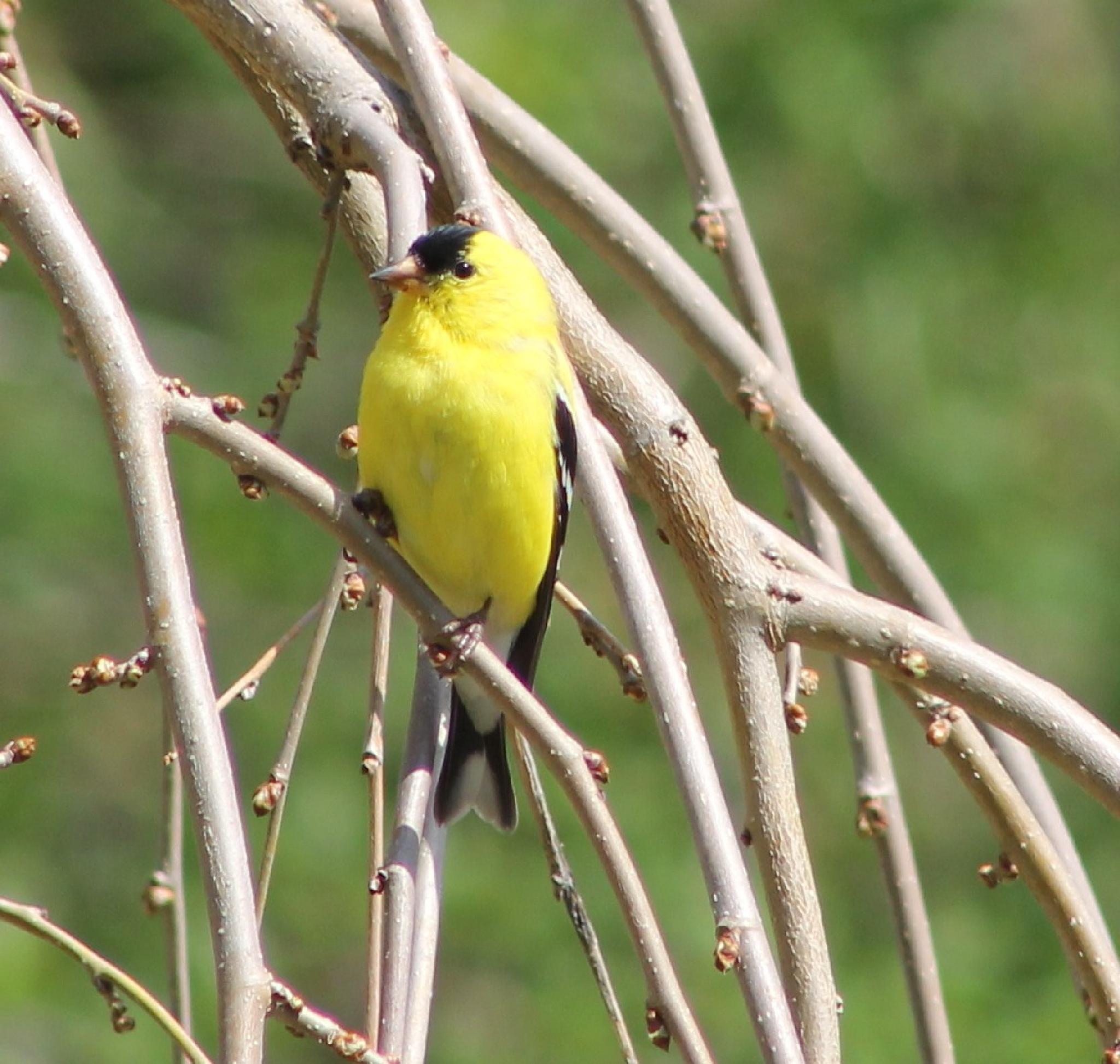 yellow finch by Heather Marie Glynn