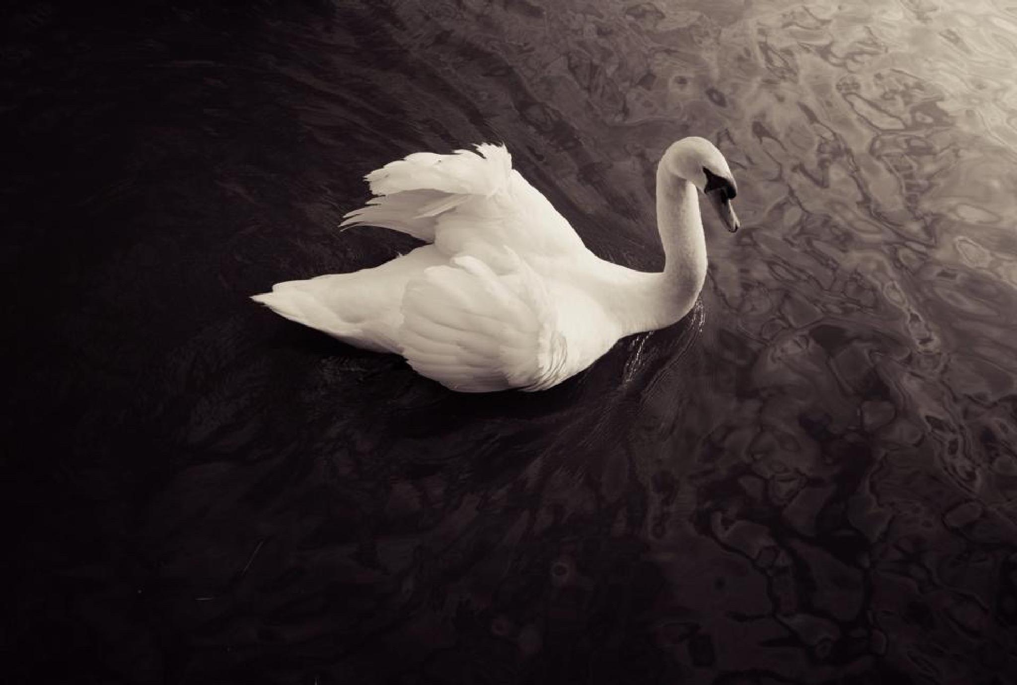 Swan at Port by Selwyn Saith