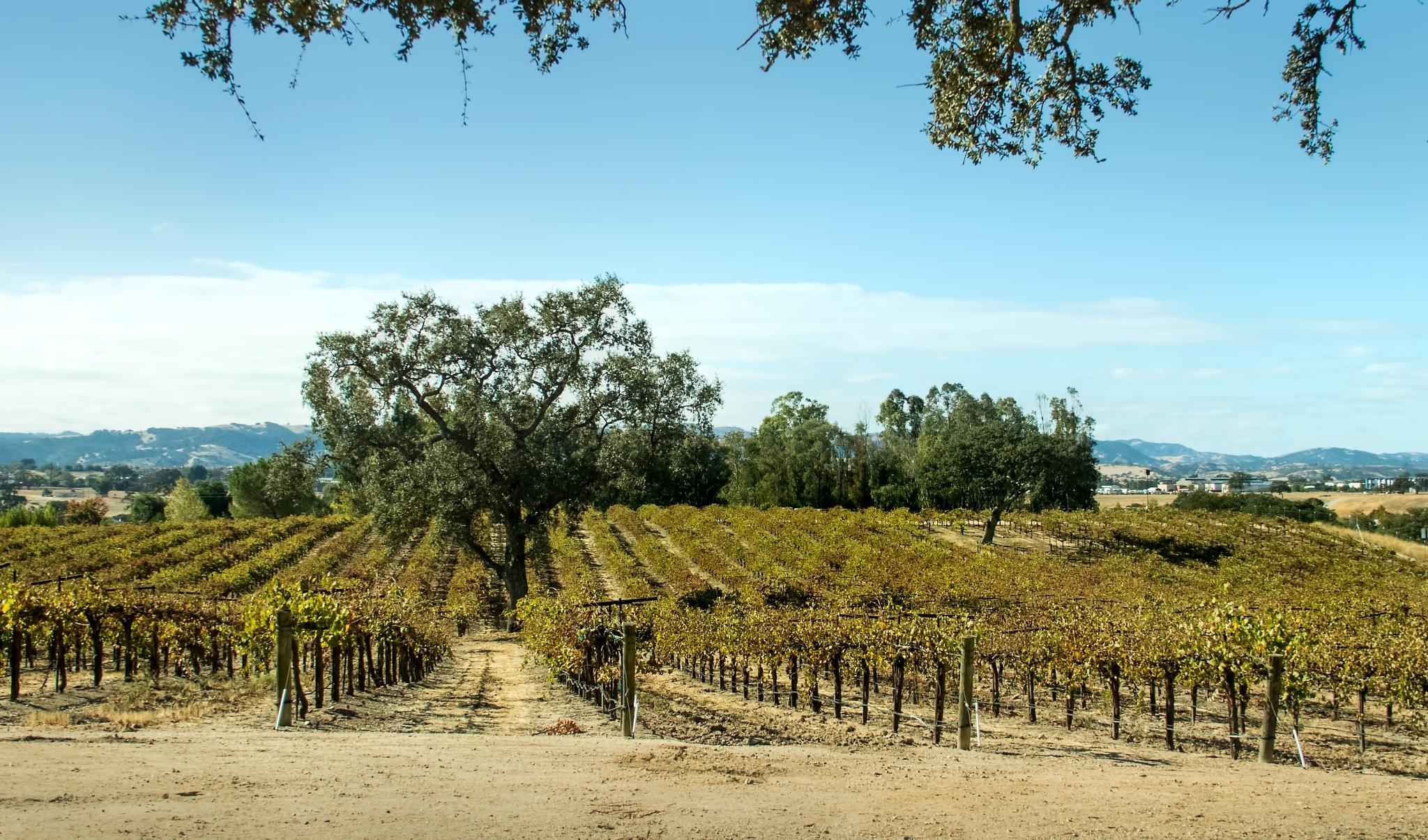 Califrornia Vineyard by Bobjb