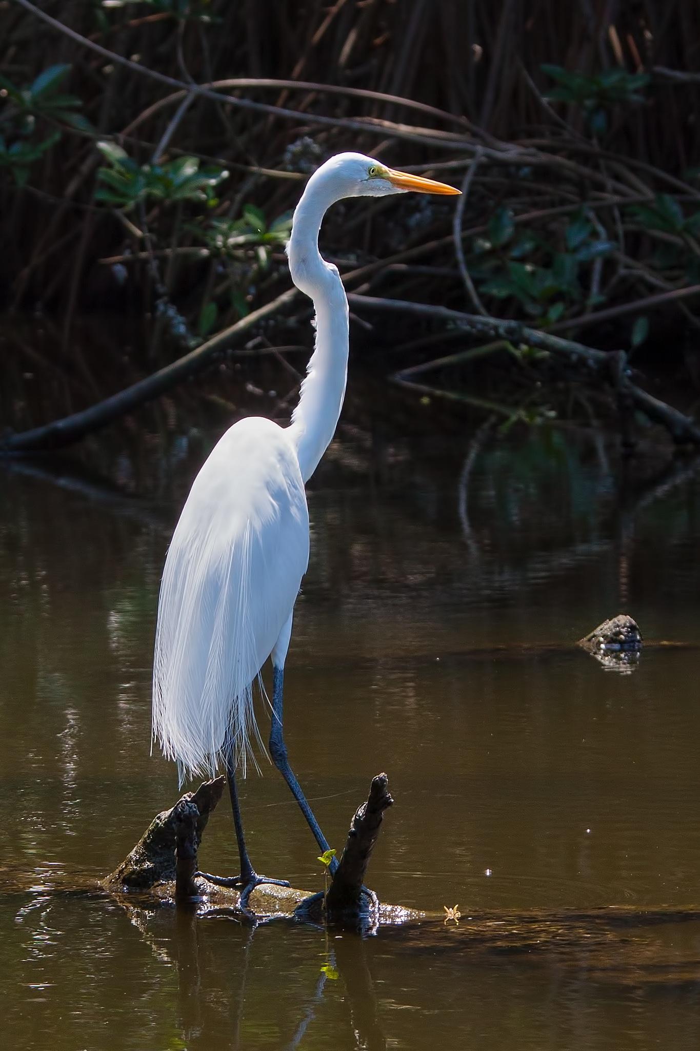 Great Egret by Bobjb