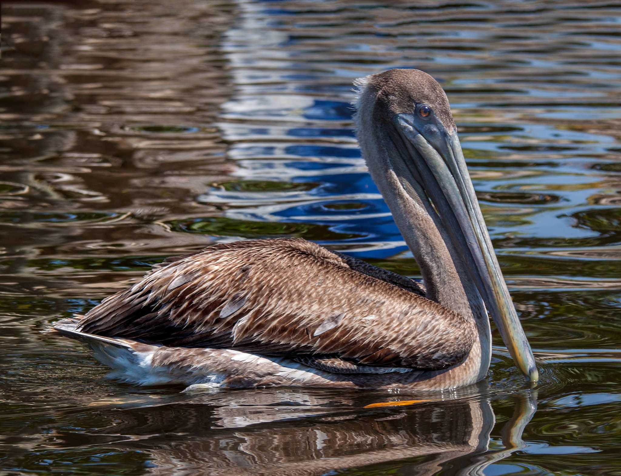 Photo in Nature #pelican #bird #water #reflection