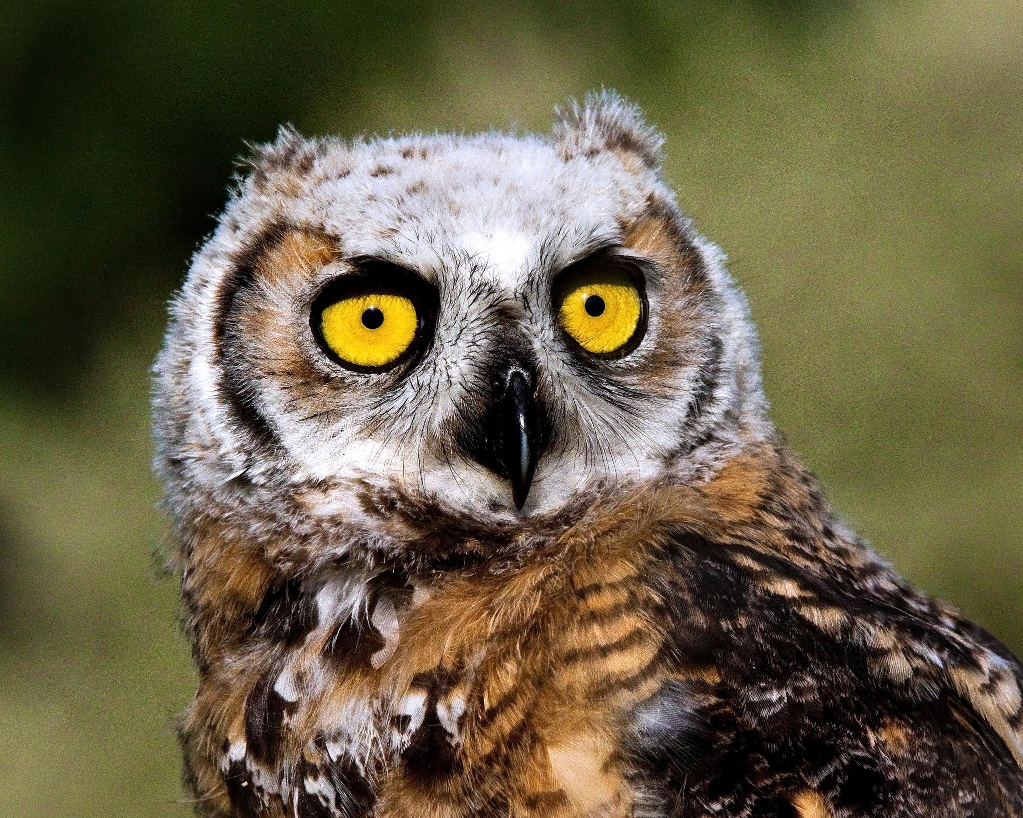 Great Horned Owlet by Bobjb
