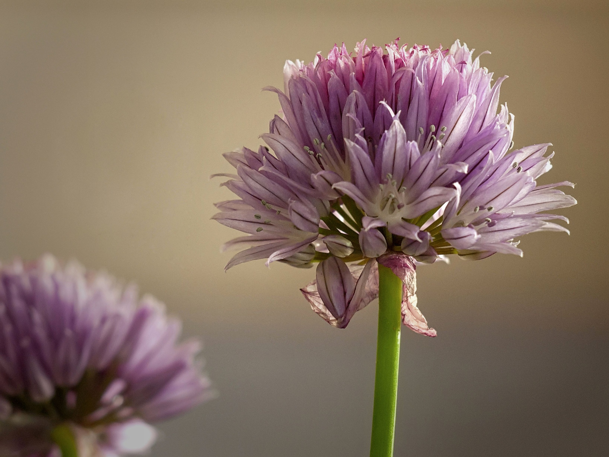 Chives by malco555