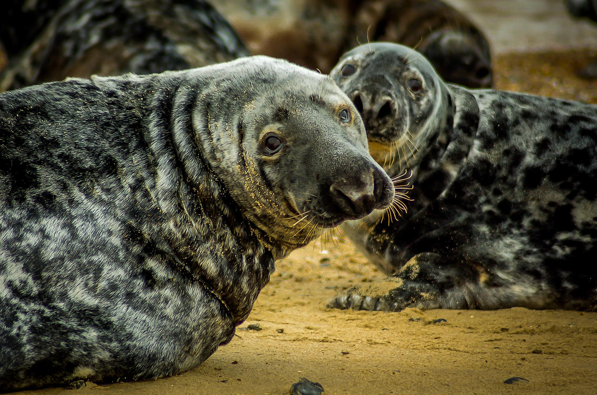 Seals by Norman3384