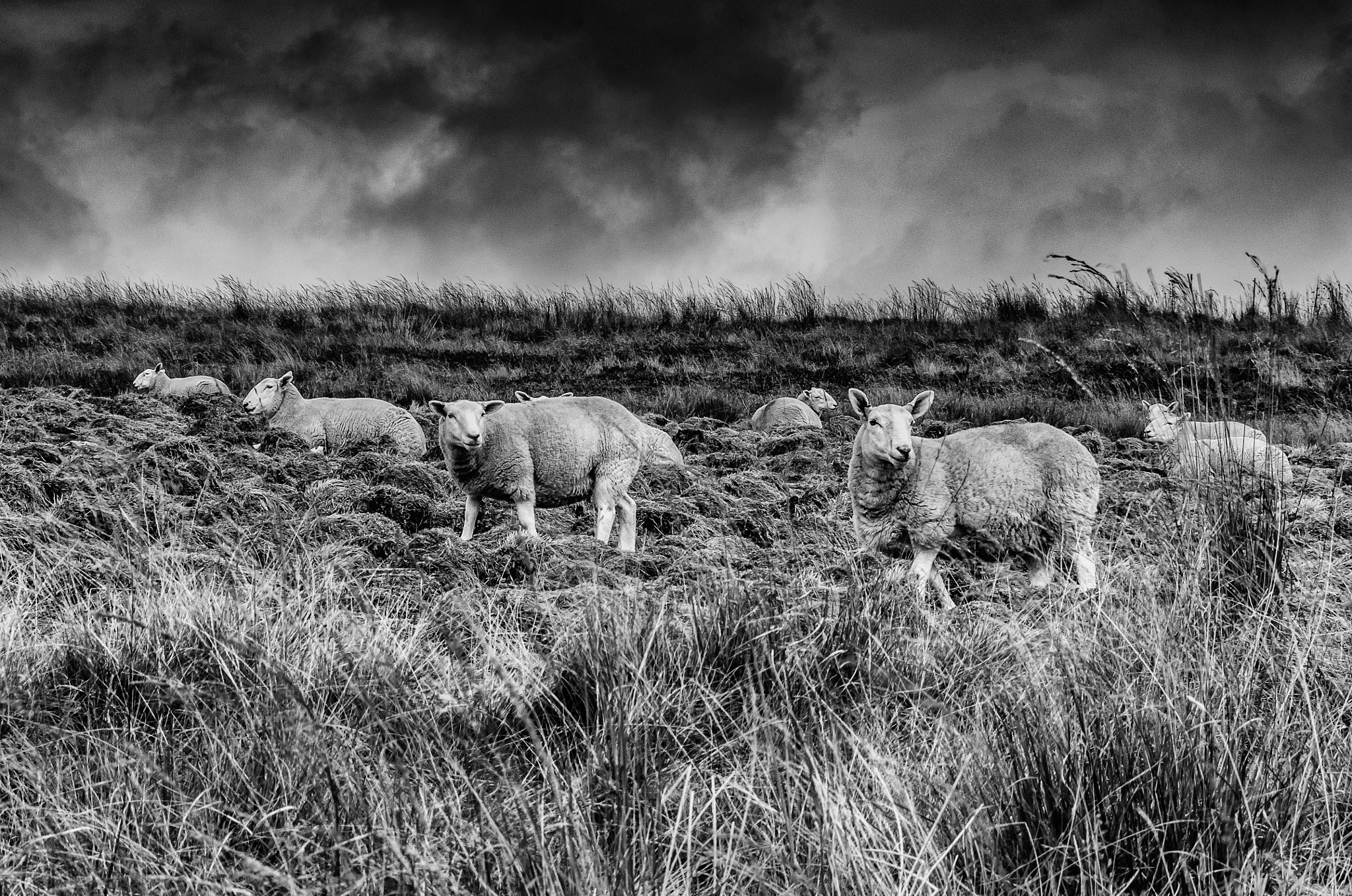 Sheep on the Hill by Norman3384