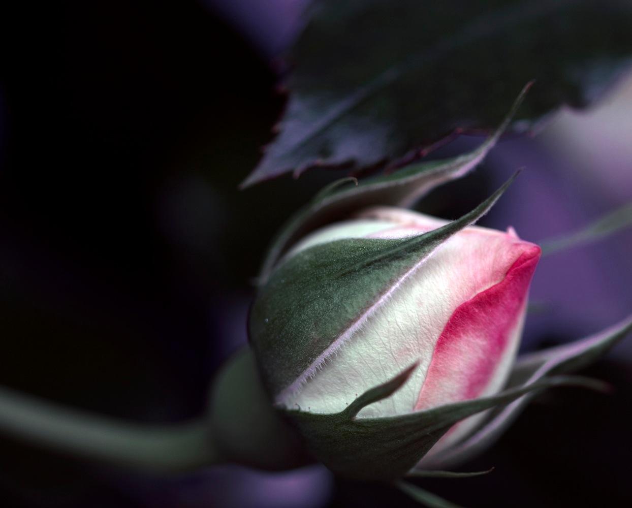 la rosa by Lauretta Michelutti