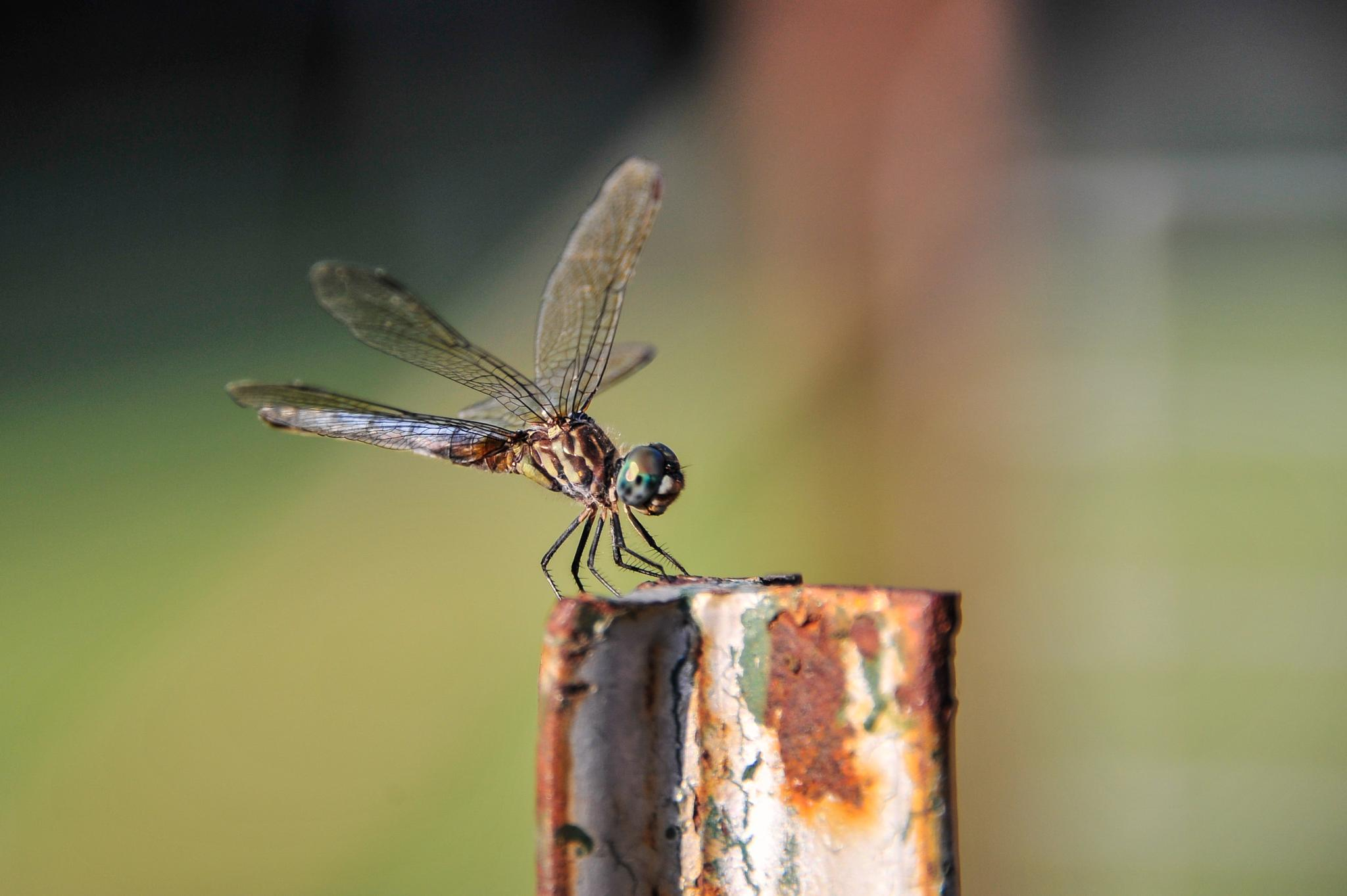 Blue Dasher Dragonfly by tmhoms75