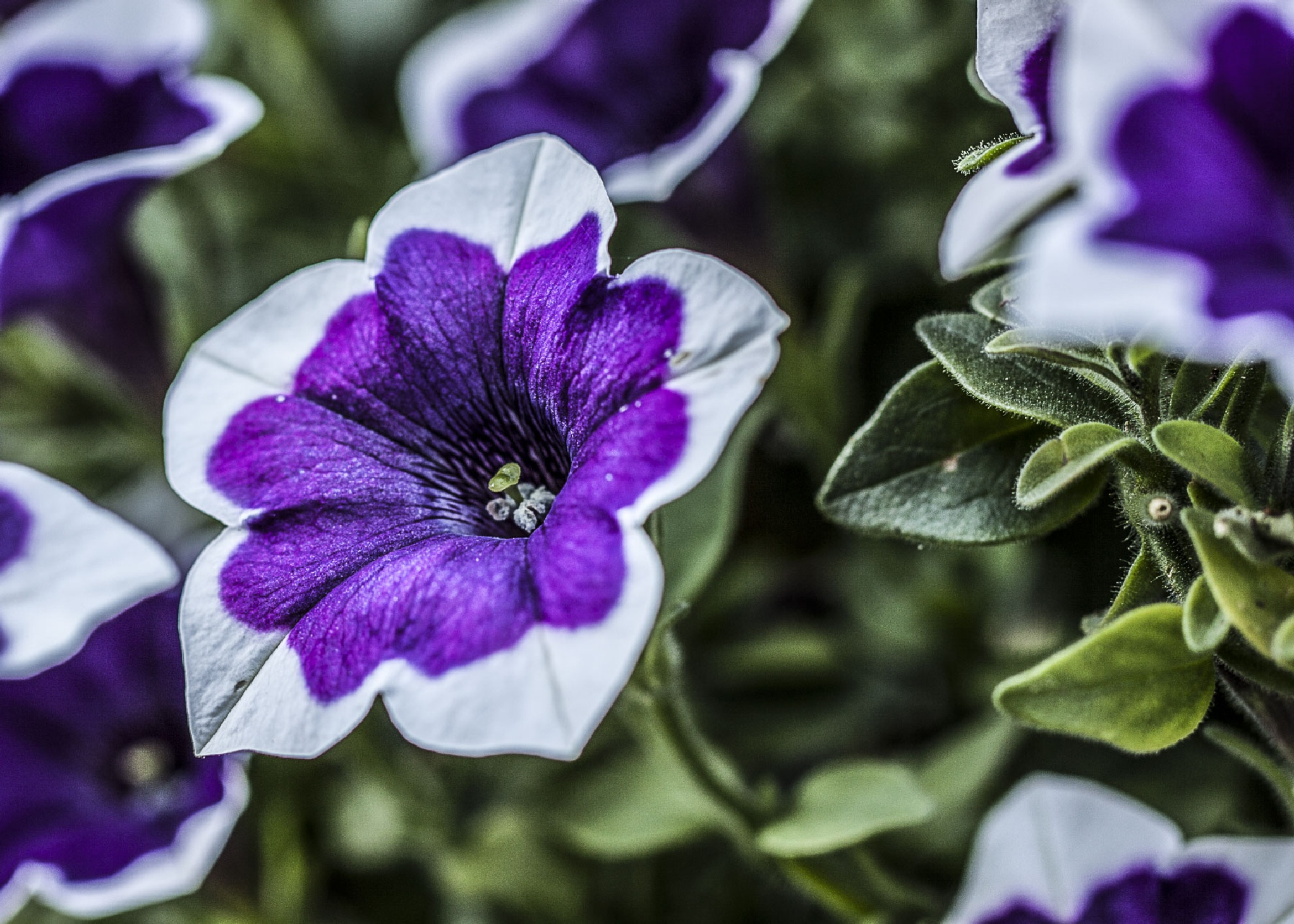 Petunia by rockitguy