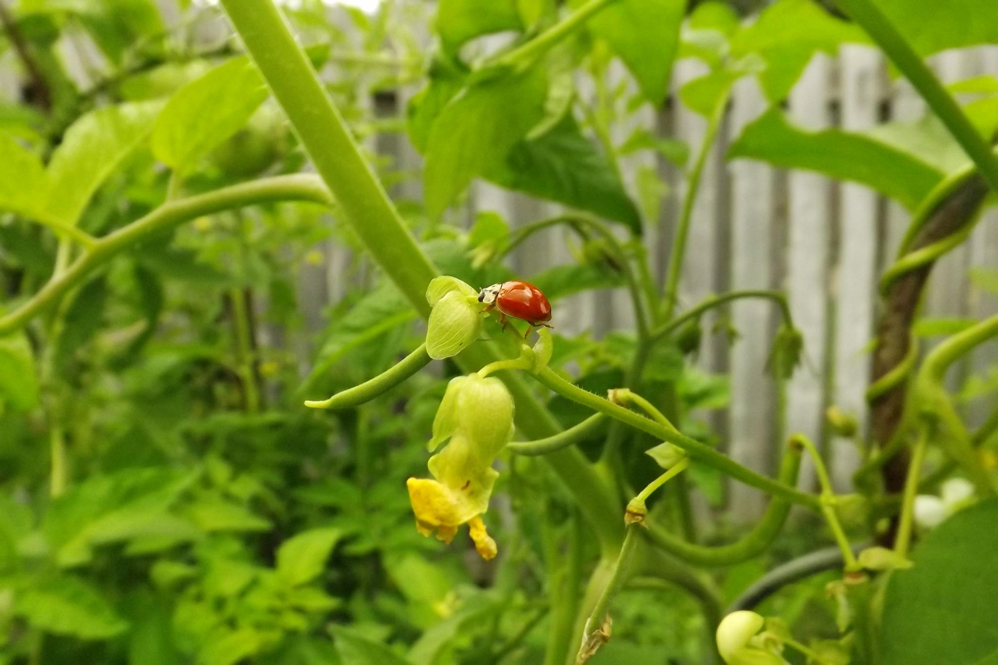 Ladybug on bean vine. by Chewy Momma