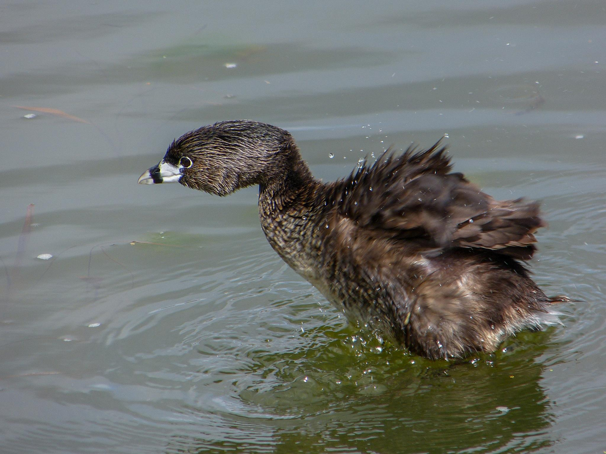 Pied-billed Grebe by Claudia Goodall