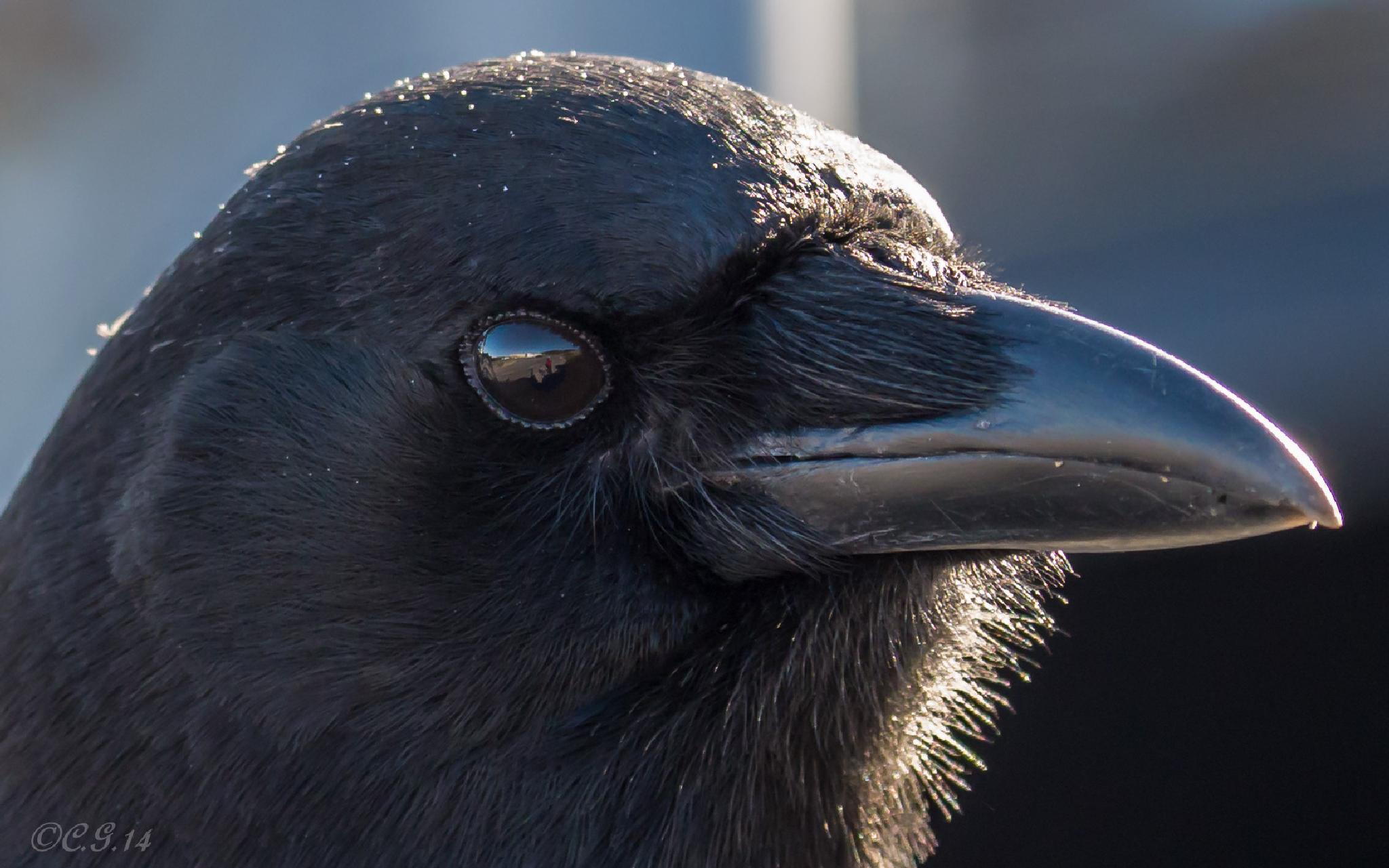 American Crow  by Claudia Goodall