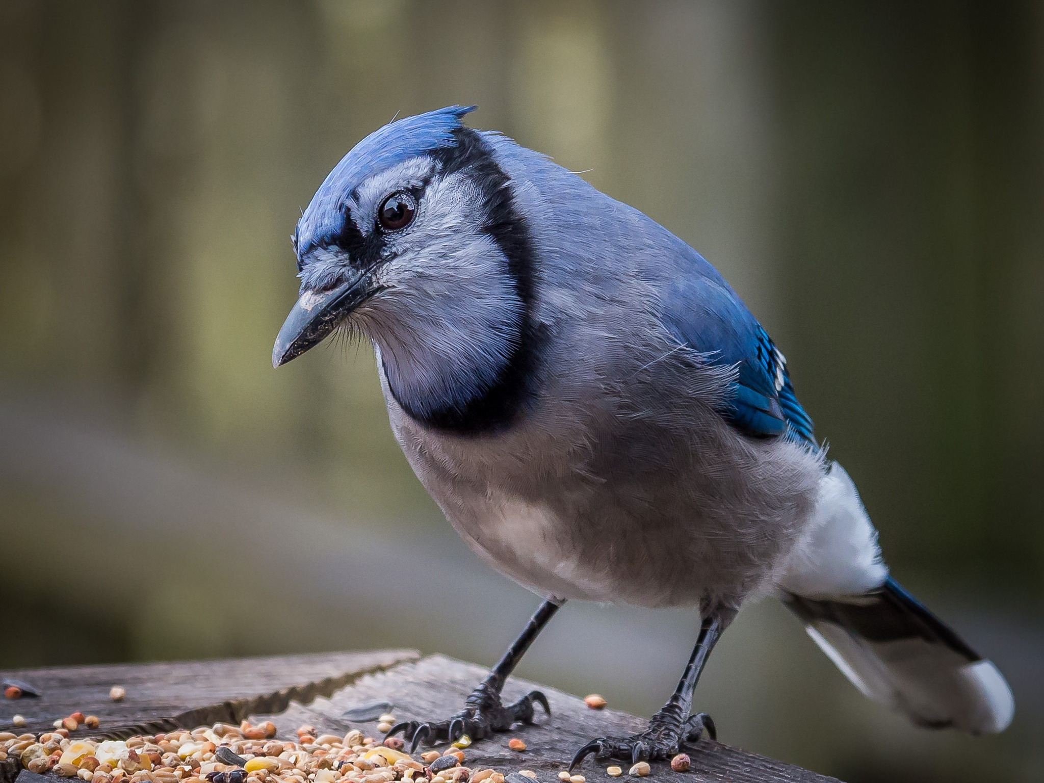 Blue Jay by Claudia Goodall