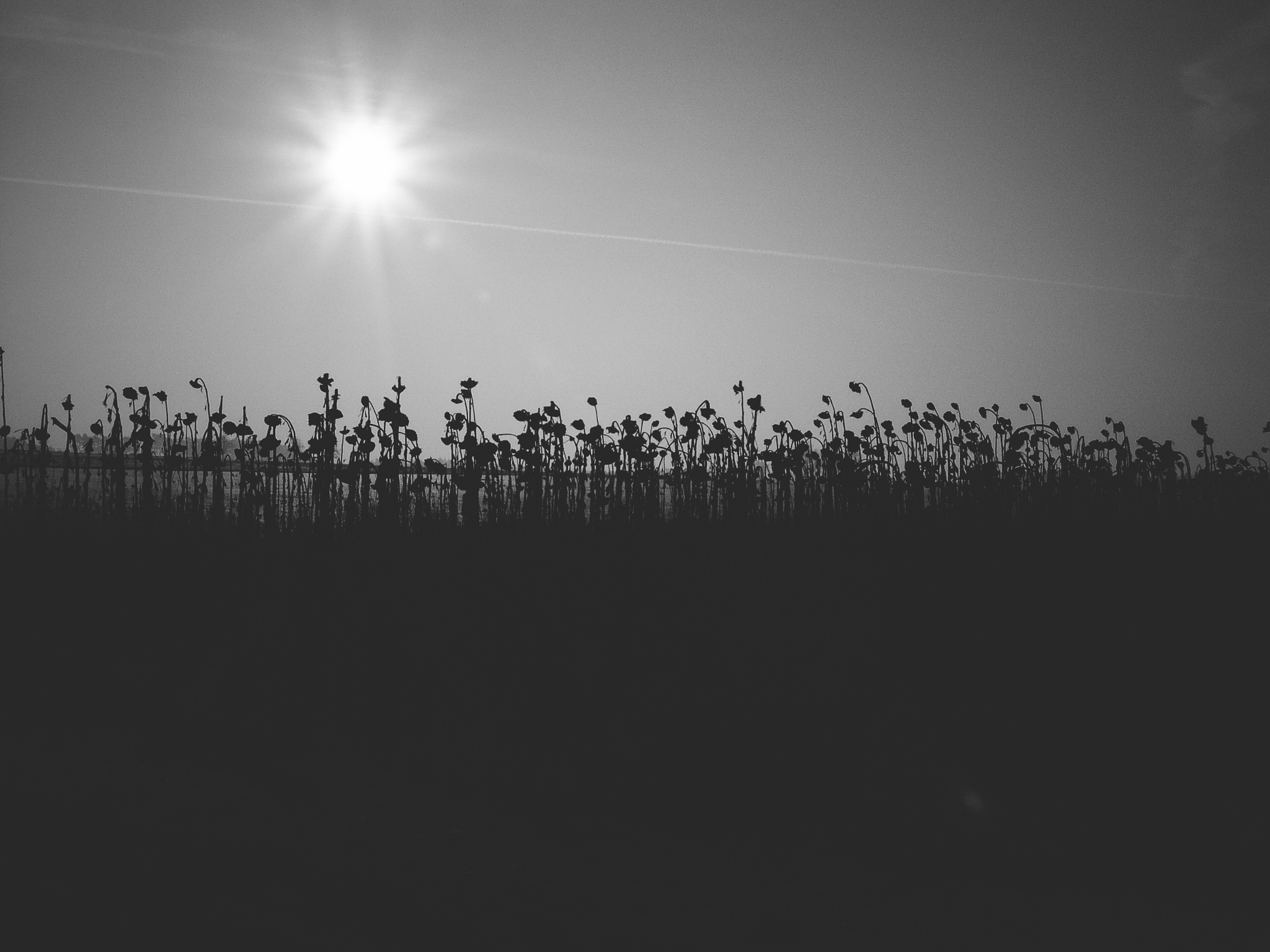Dead Sunflowers by Michael Geller