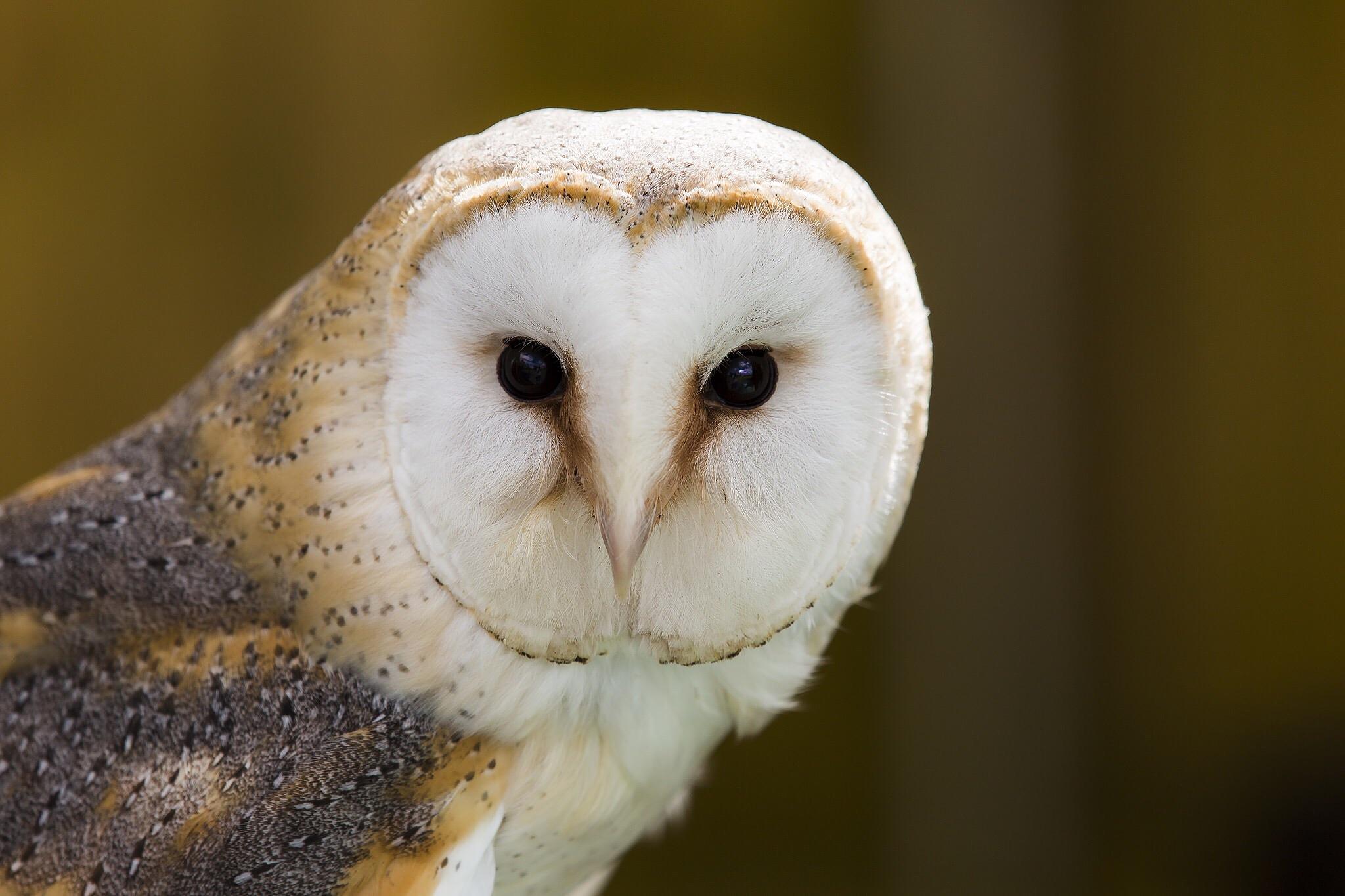 Barn Owl by Richard Bennett