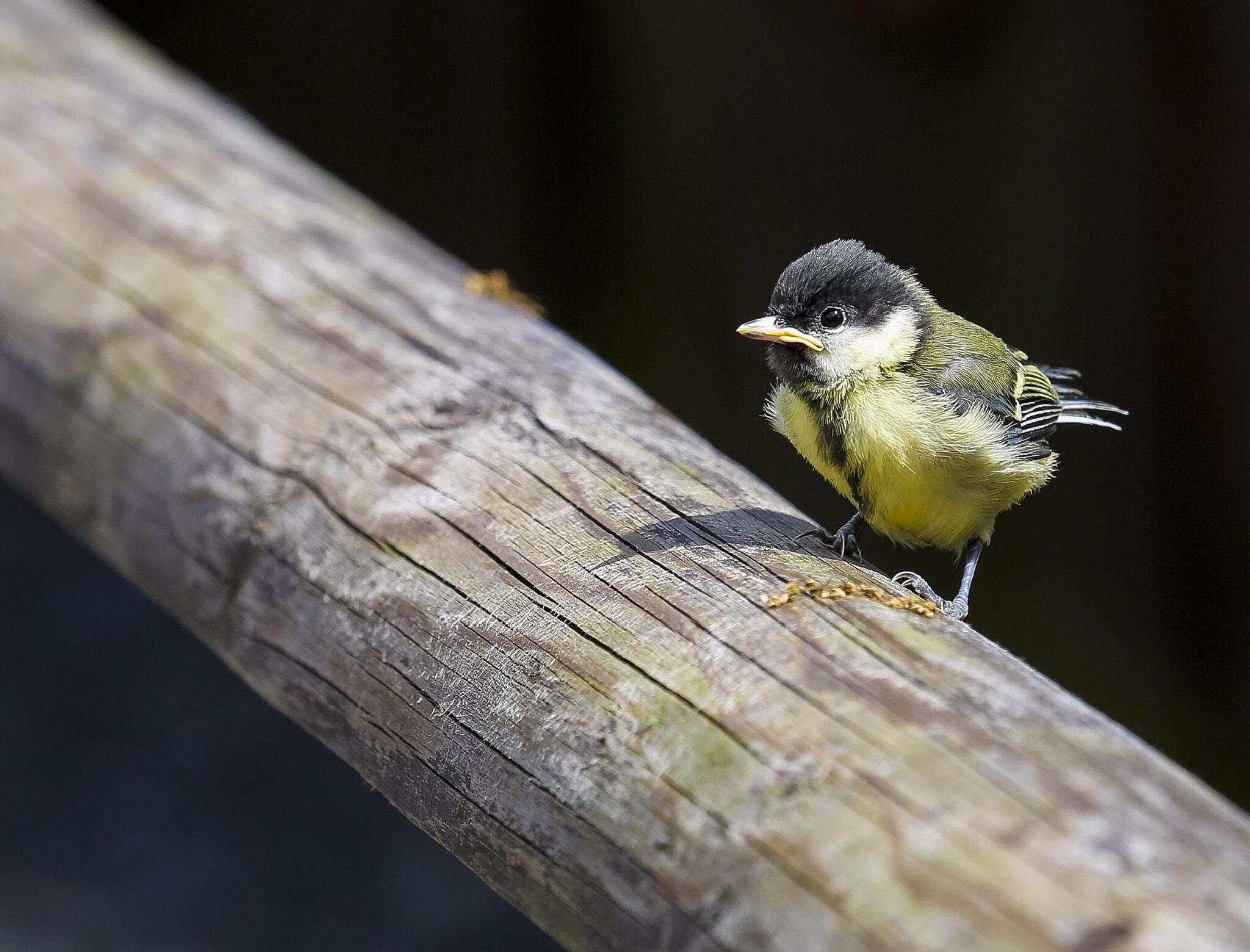 Young Great Tit by Richard Bennett