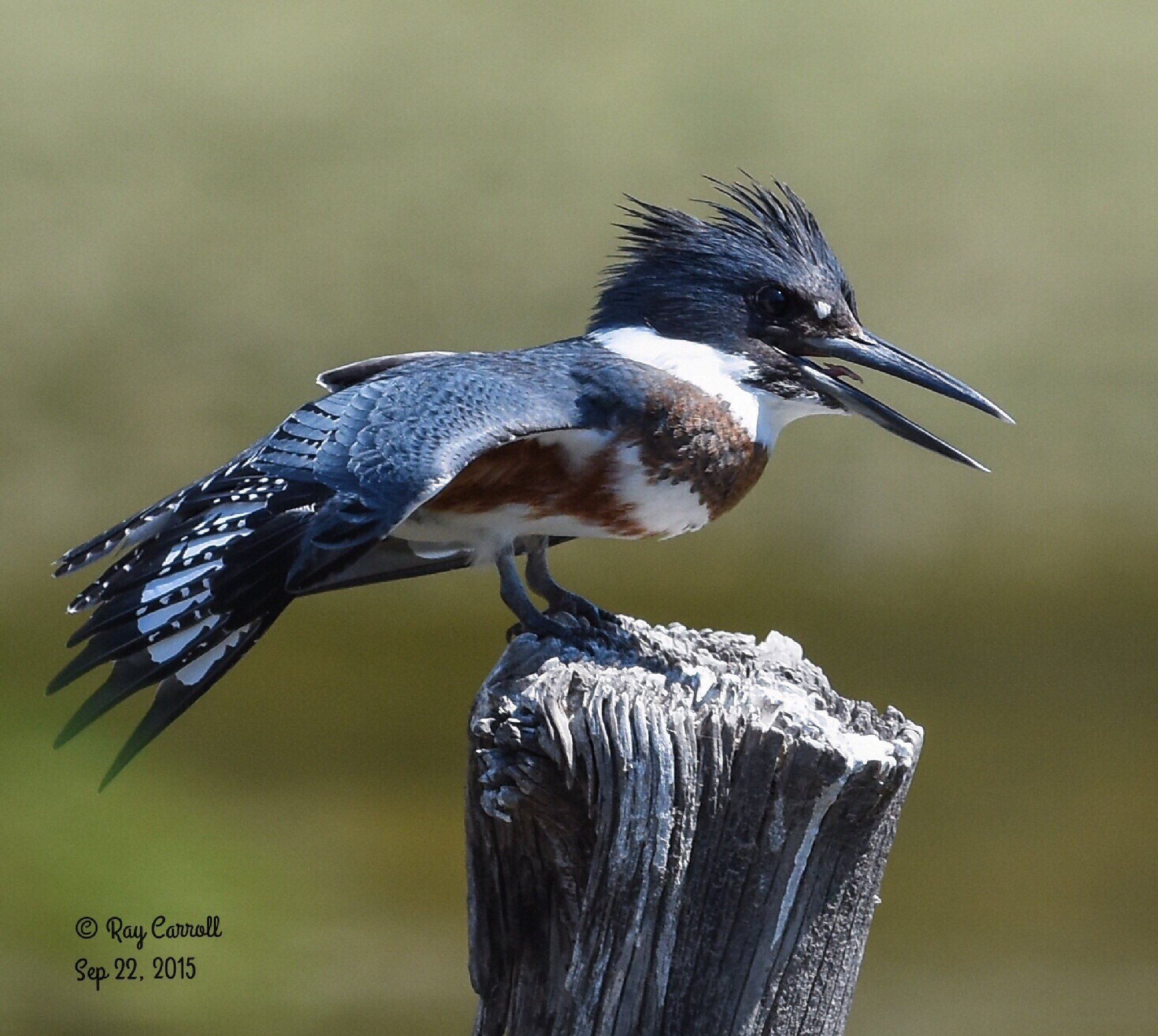 Belted Kingfisher female by Ray Carroll