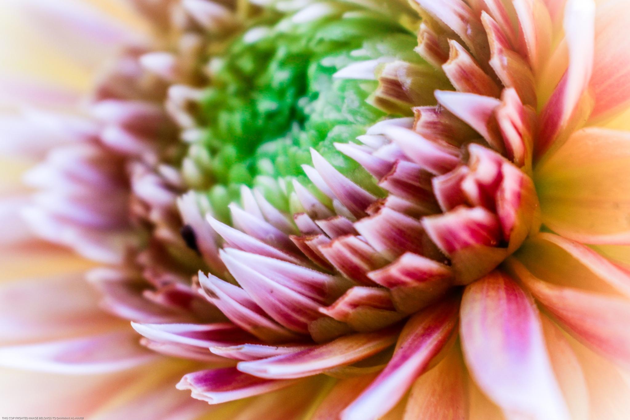 Flower by Dahman Alharbi