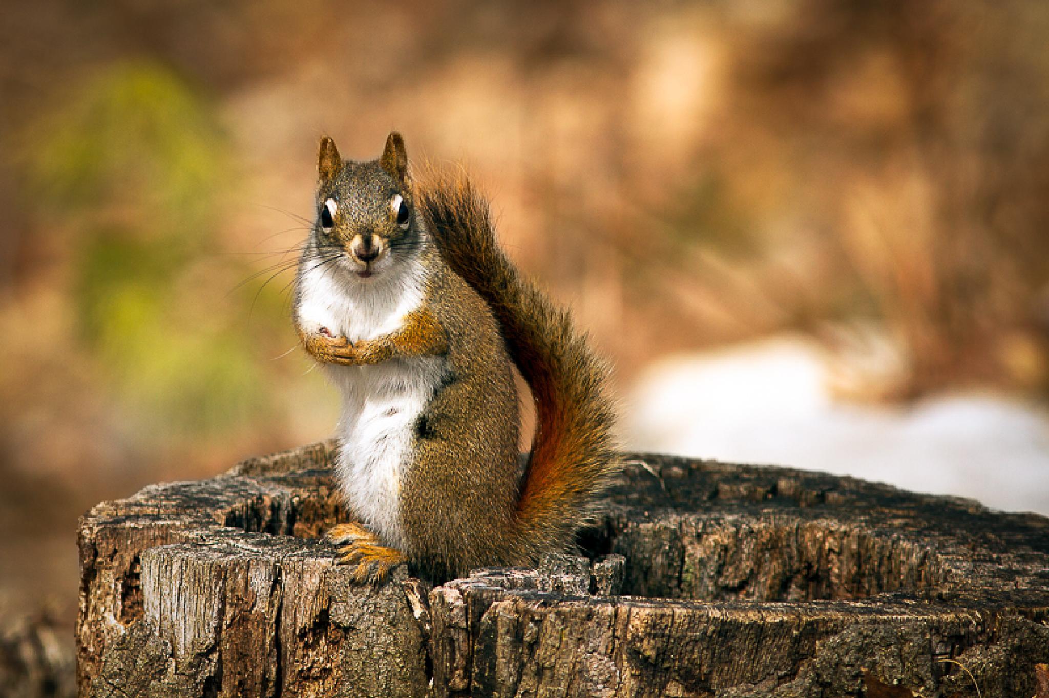 Red Squirrel by Robert Ferguson