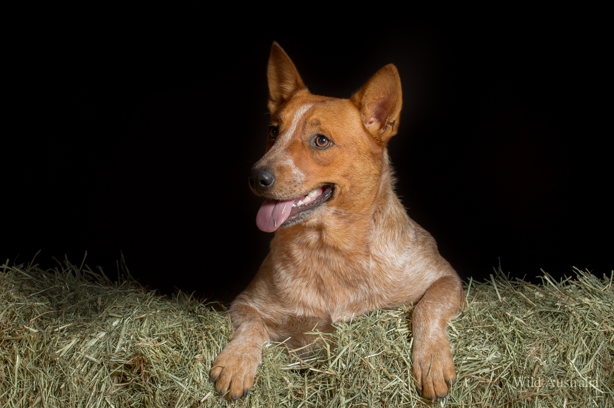 Meet Ruby, a red cattle Dog, by Terry Dell