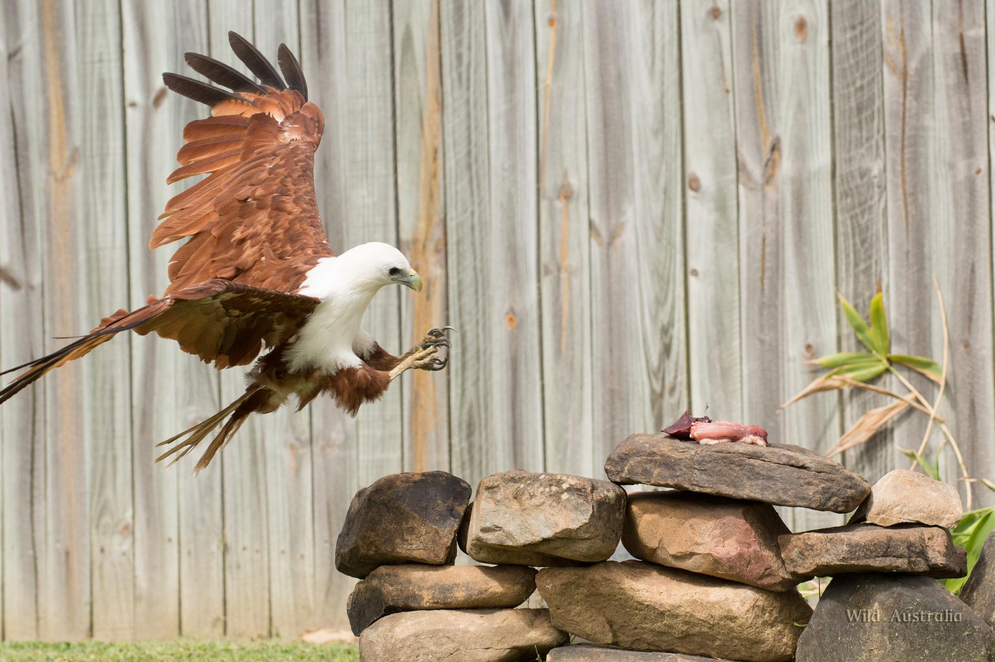 Brahminy Kite takin the magpies lunch. by Terry Dell
