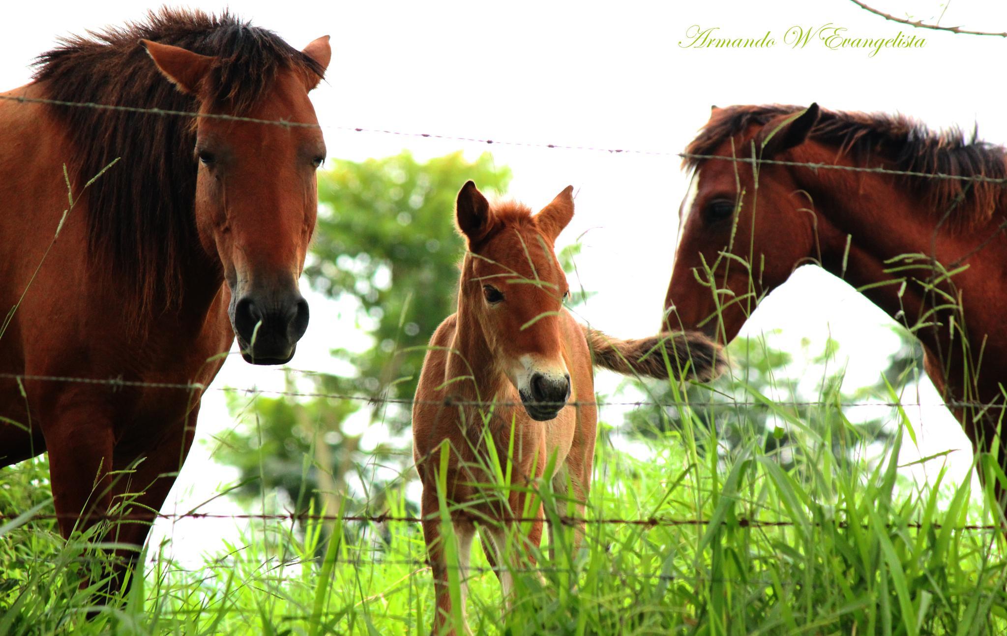 Horse Family by Armando William Sadang Evangelista