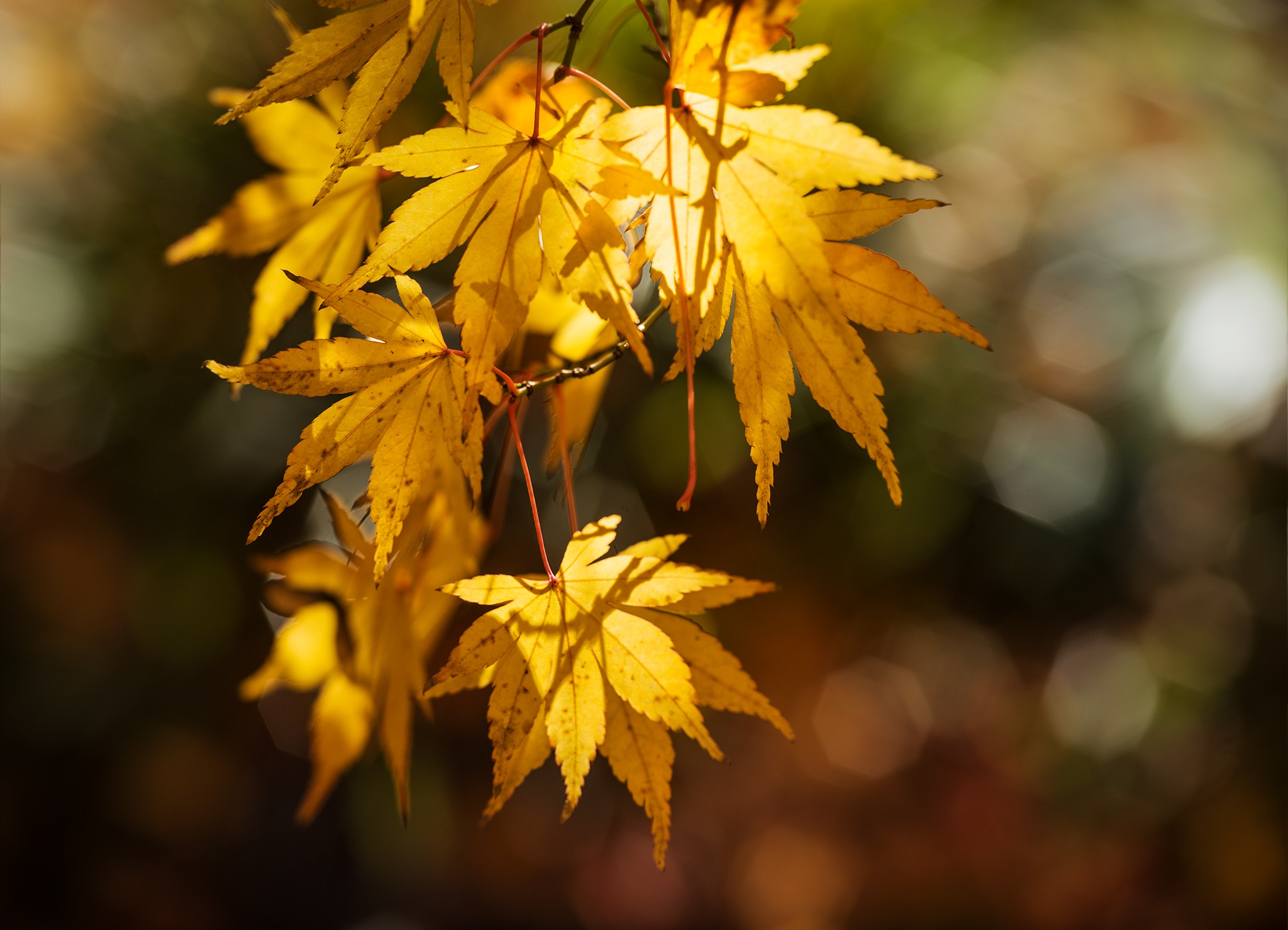 Acer gold by Ganesh Neumair