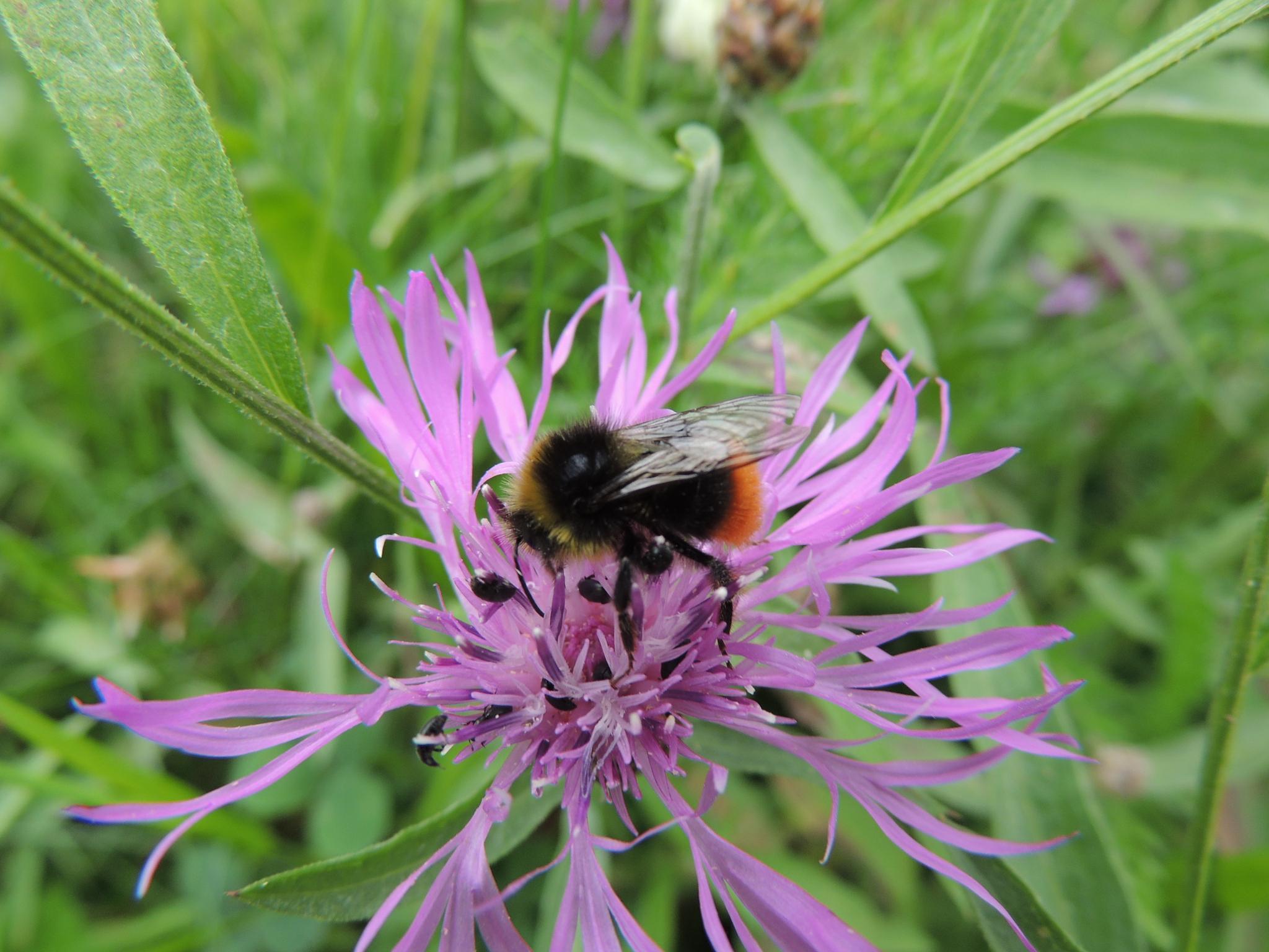 bumblebee by Oliver Kieser