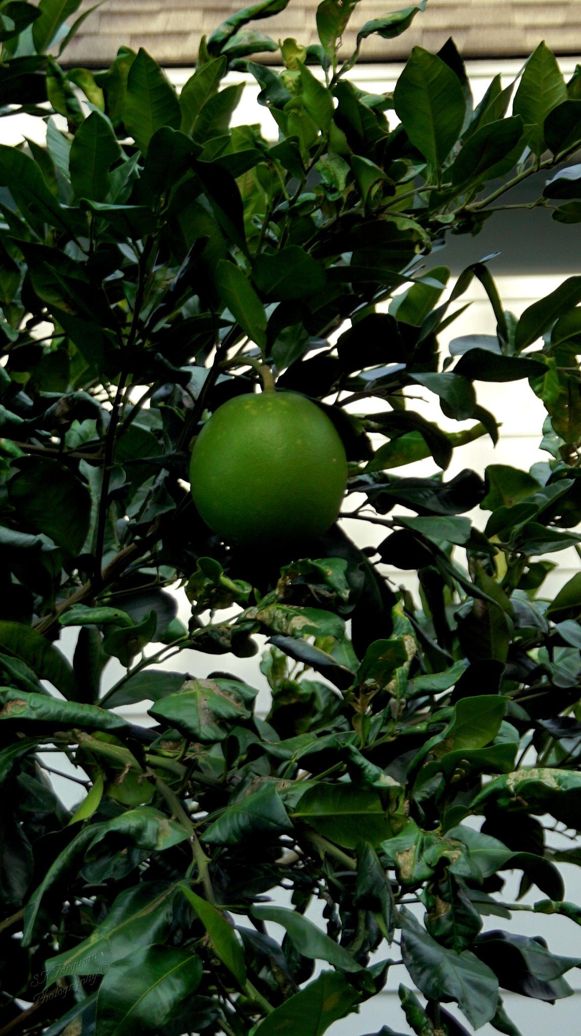Grapefruit Tree by Shelly Mason Ferguson