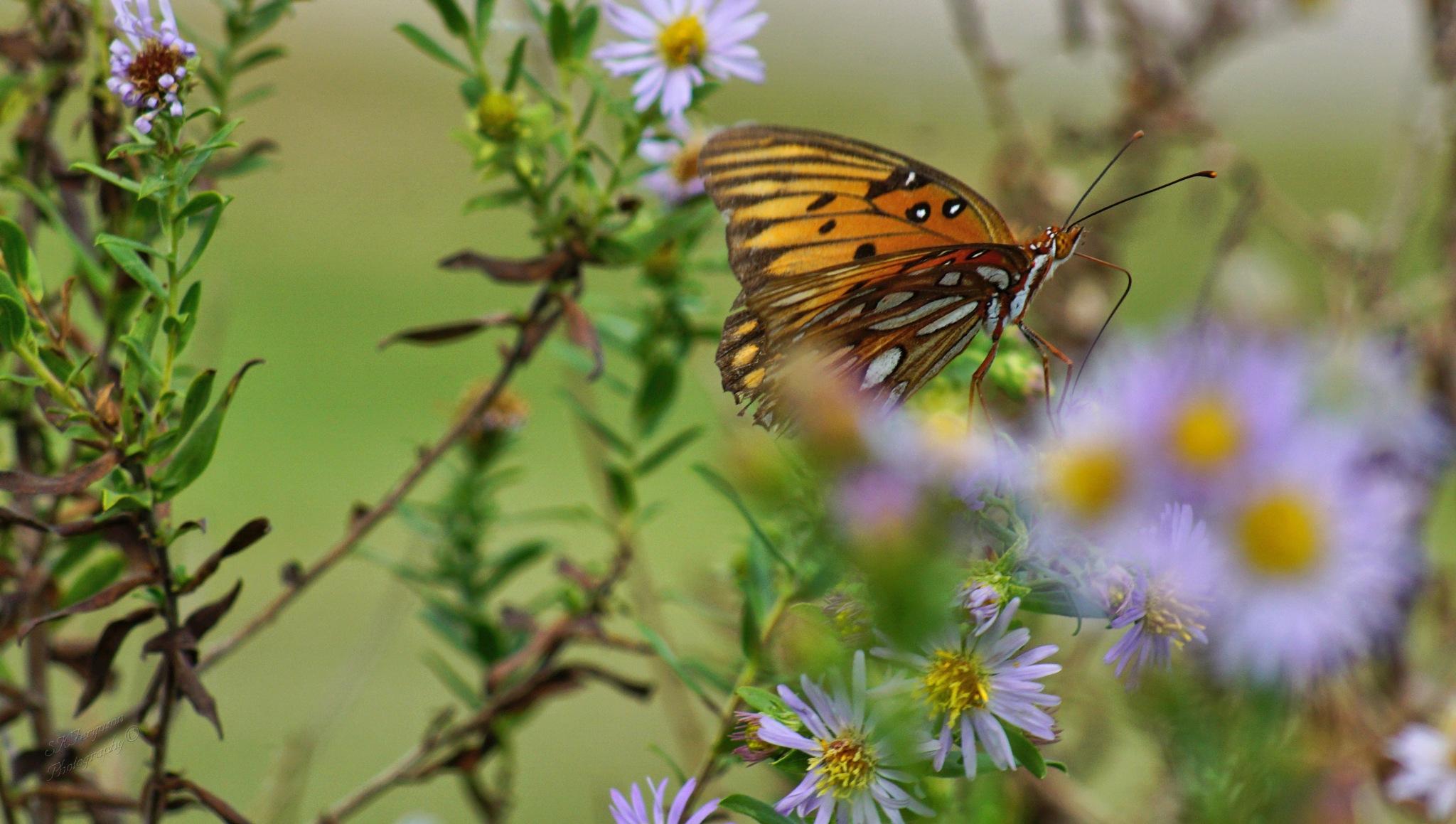 Gulf Fritillary Butterfly by Shelly Mason Ferguson