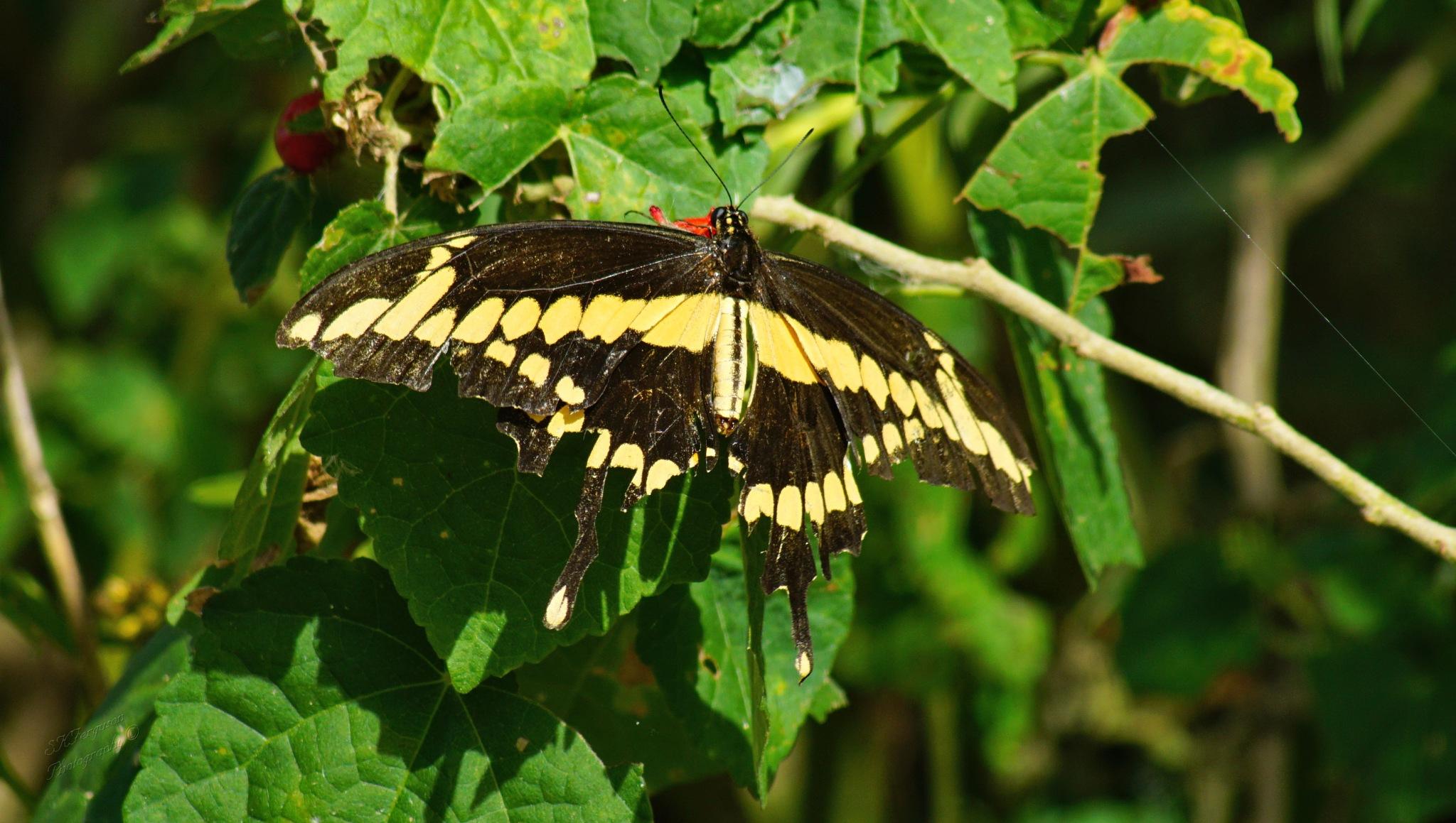 Giant Swallowtail Butterfly by Shelly Mason Ferguson