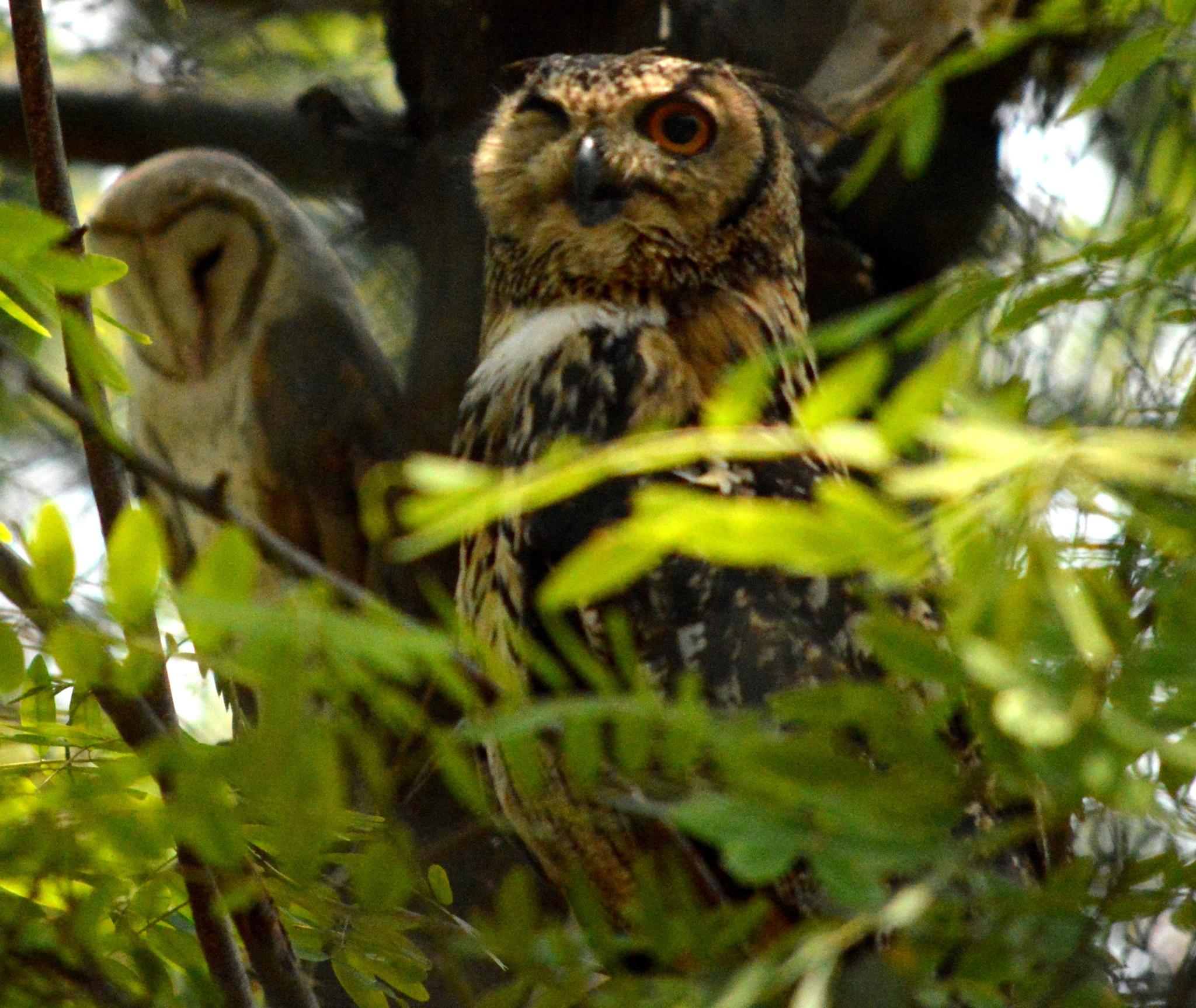 Owl by Sanjay Sugumar Mani