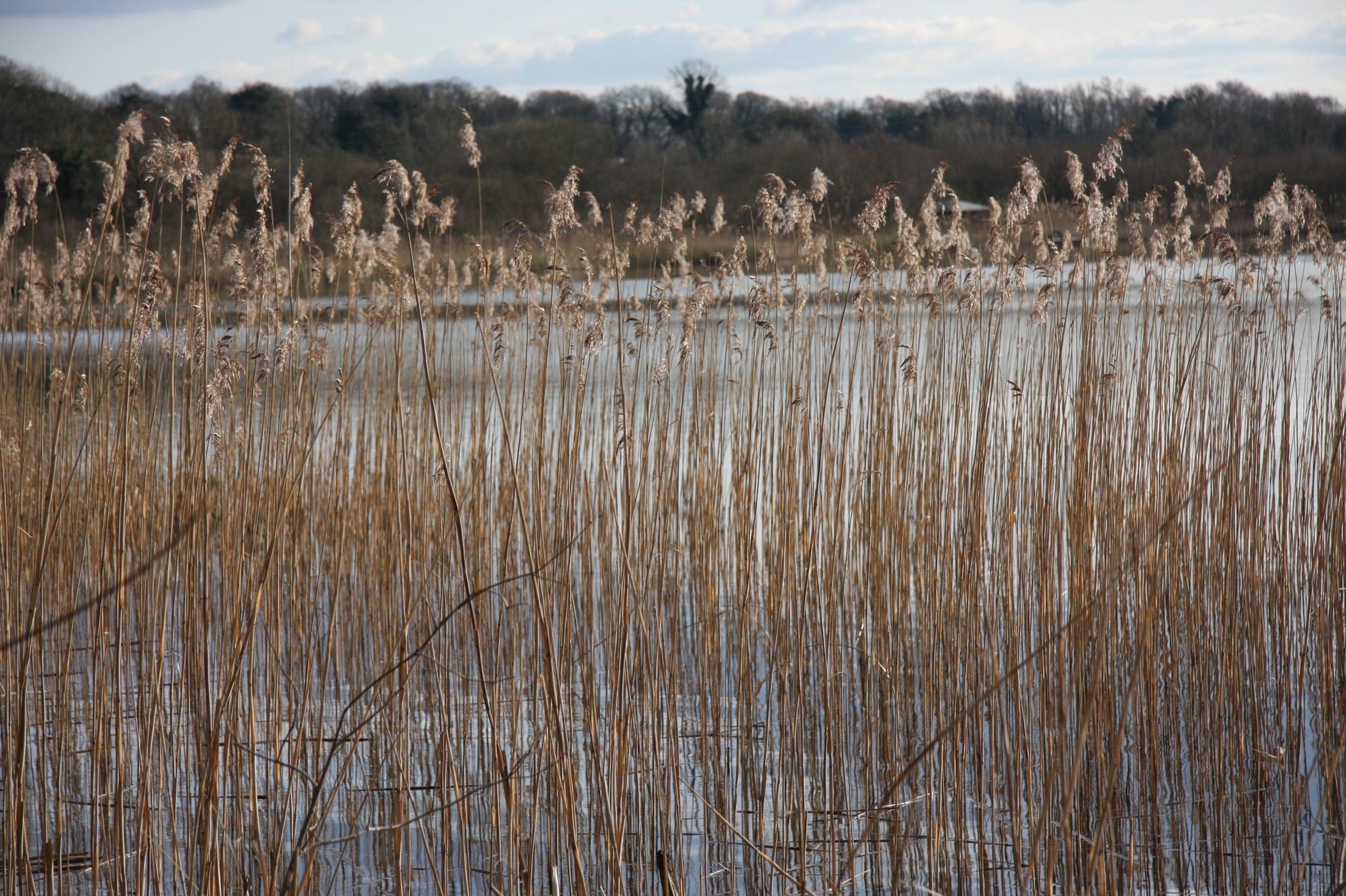 Reeds and water by Amanda Gardner